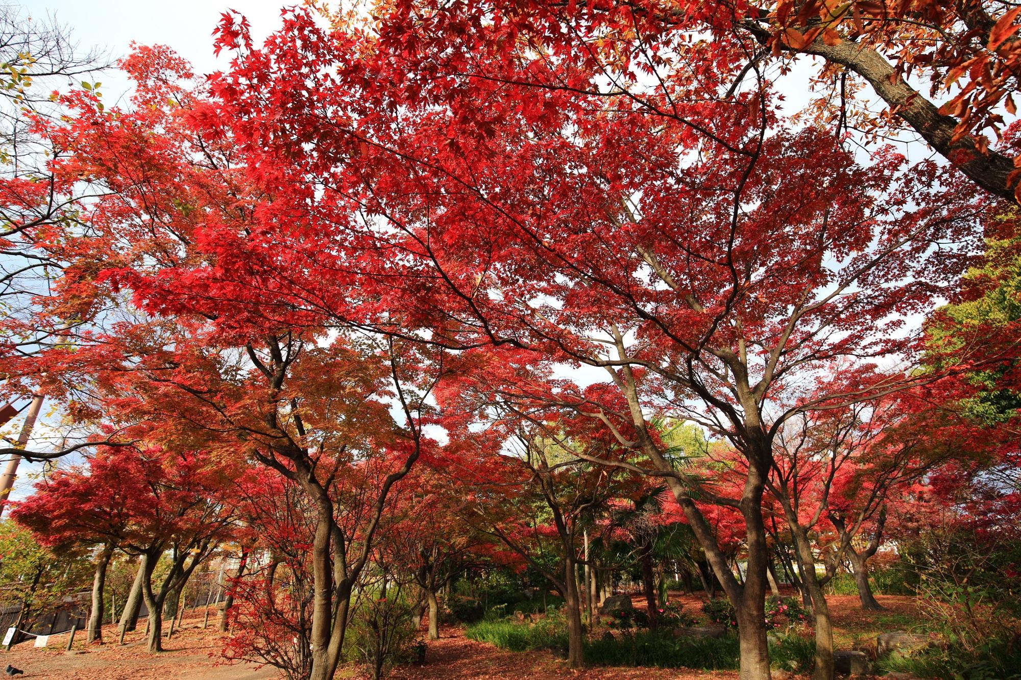 梅小路公園 紅葉 見ごろ 秋