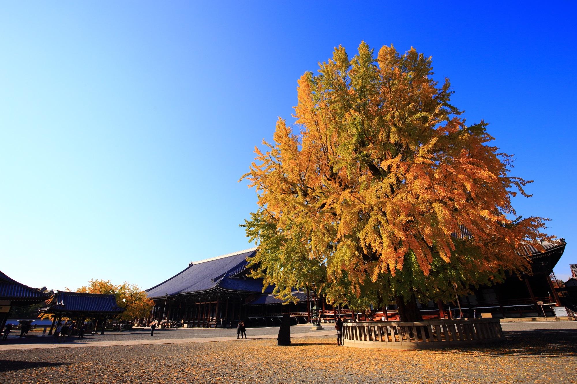 西本願寺 いちょう 黄葉 黄金にそまる銀杏の名所