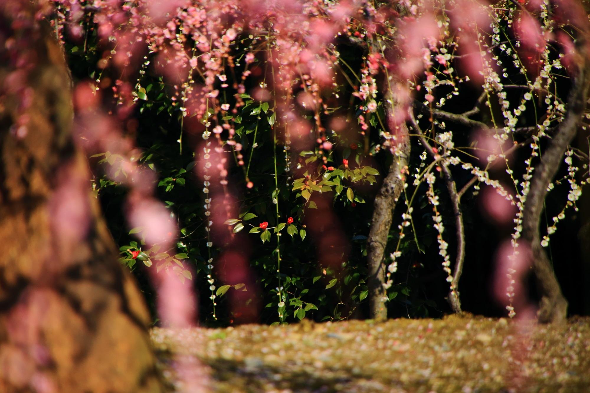 赤い花をつけた椿を背景とした華やかなしだれ梅