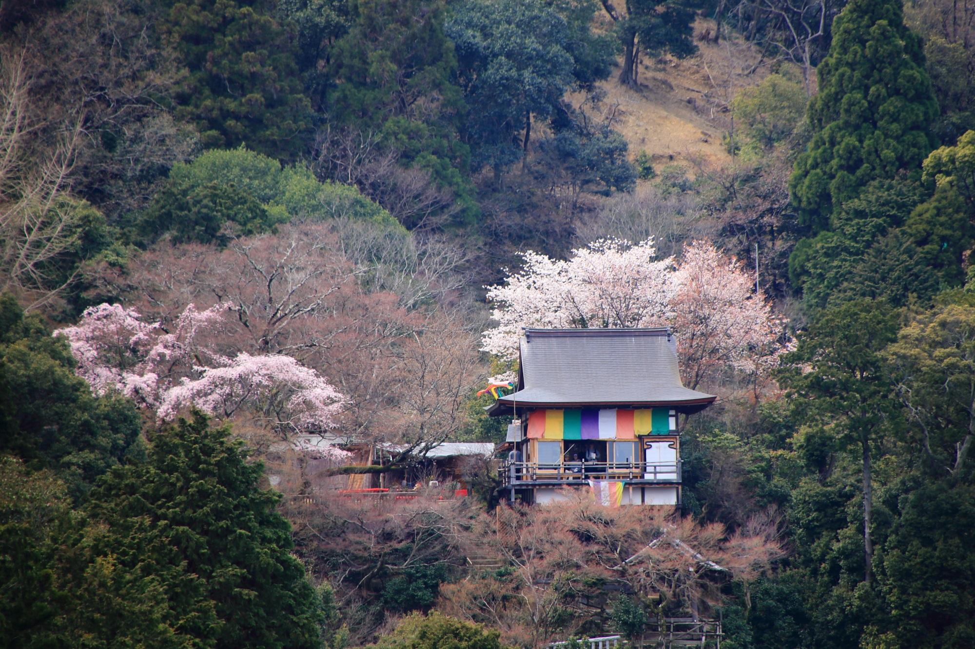 周りが桜で溢れている大悲閣 千光寺