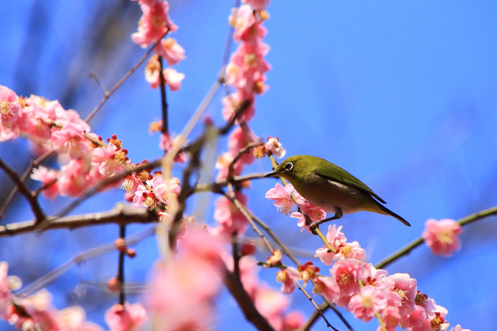 長閑で華やかなメジロと梅の春のひと時