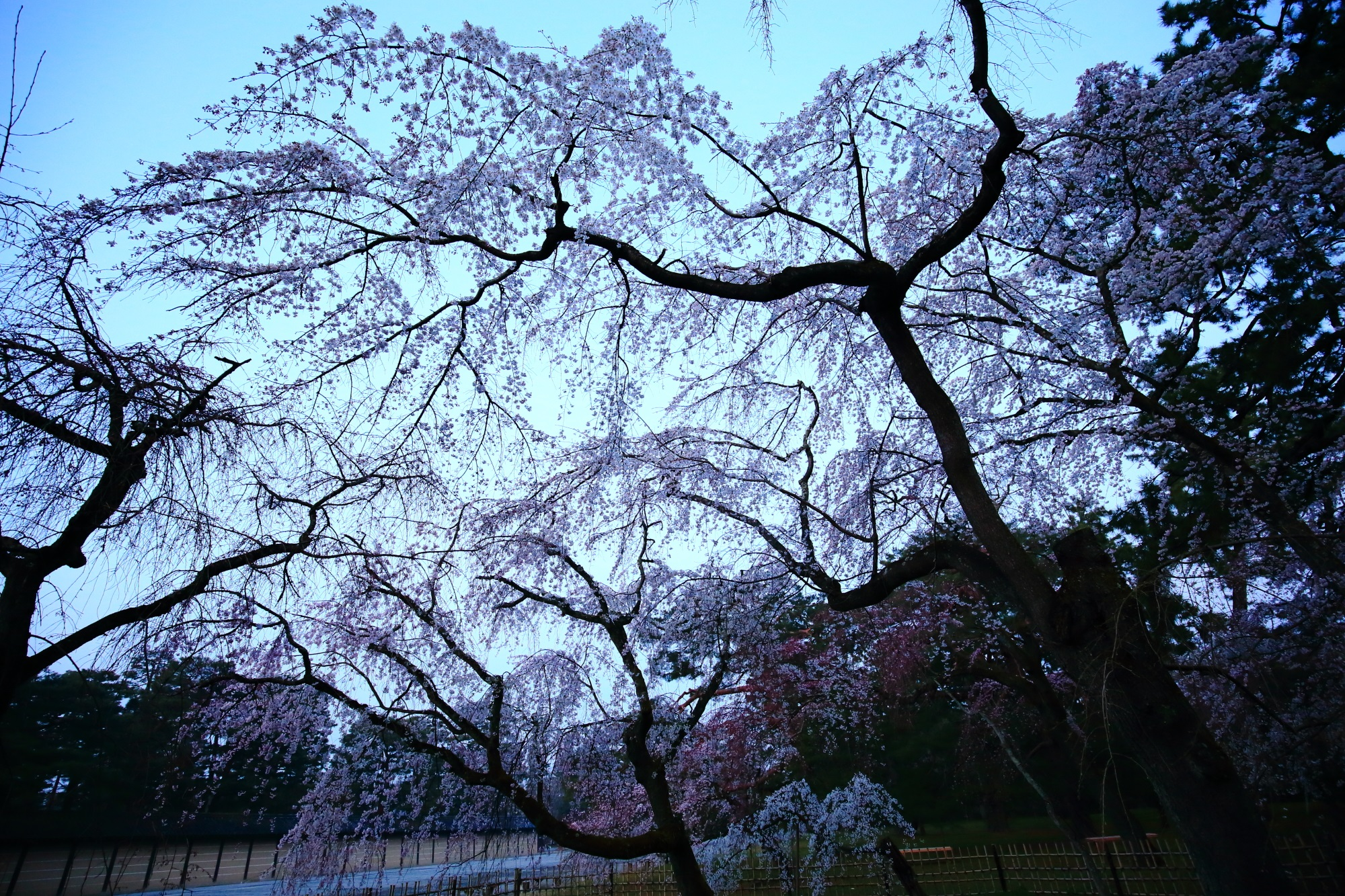 Kyoto Gyoen Garden weeping cherry tree in spring