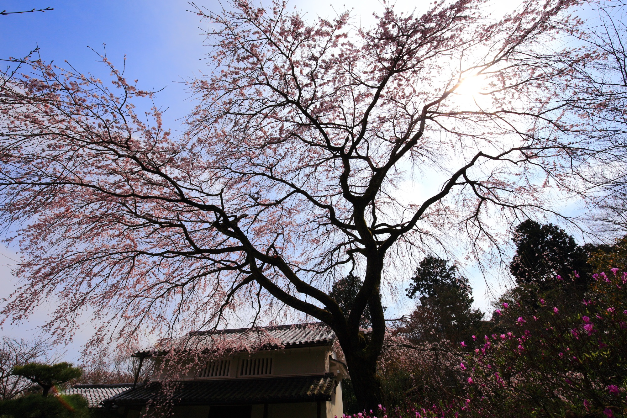 Kyoto Jyojakkoji-Temple cherry blossoms