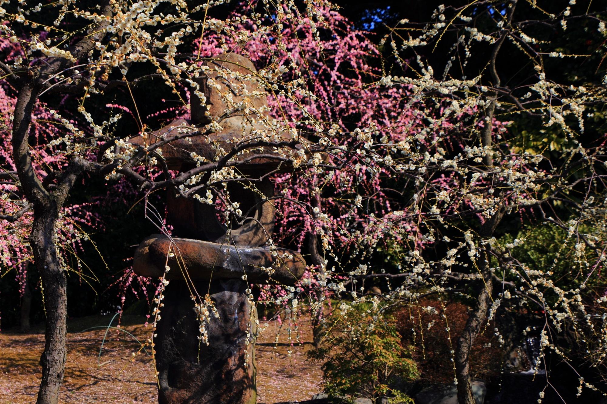 紅白の見事なしだれ梅の中に佇む燈籠