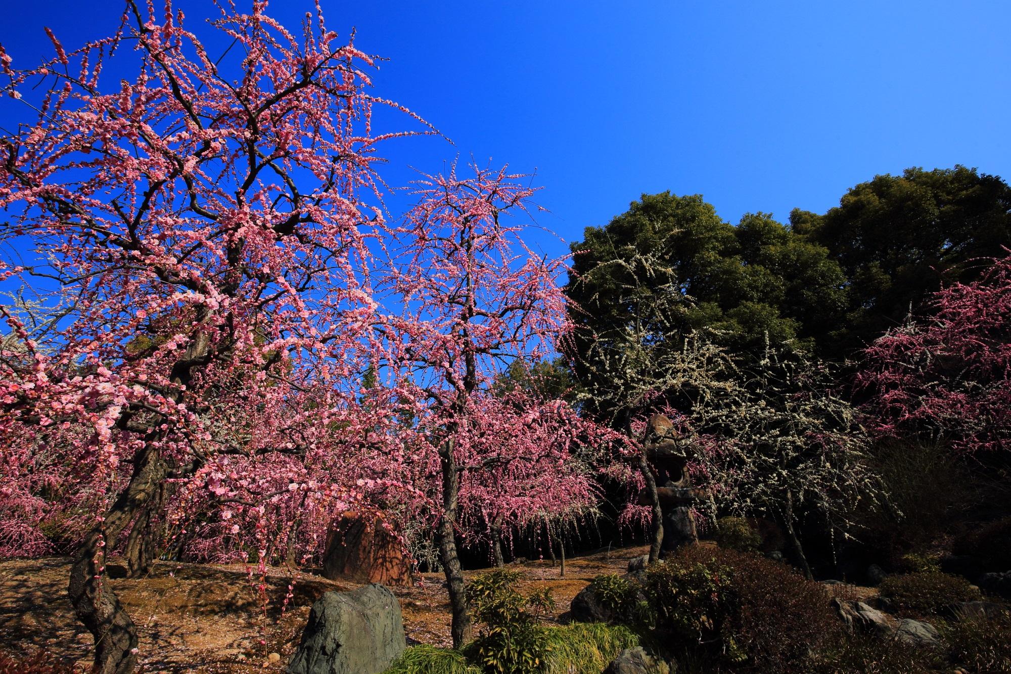 何時間でも見ていられそうな春の爽快な梅の景色