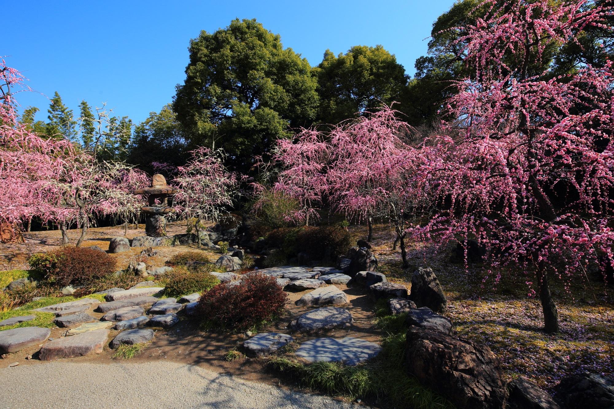 しだれ梅が満開の城南宮の神苑