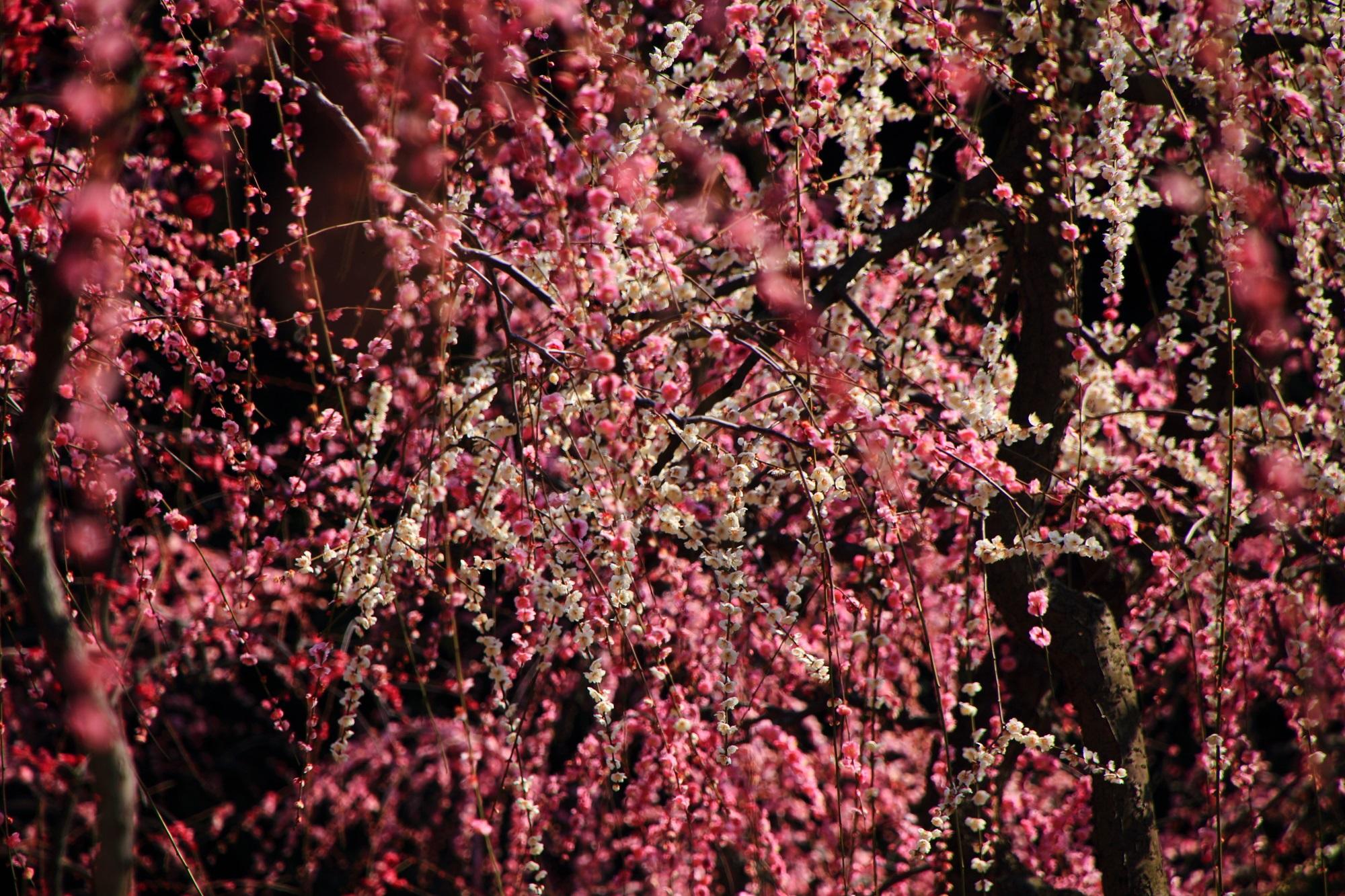 紅白入り乱れて豪快に咲くしだれ梅