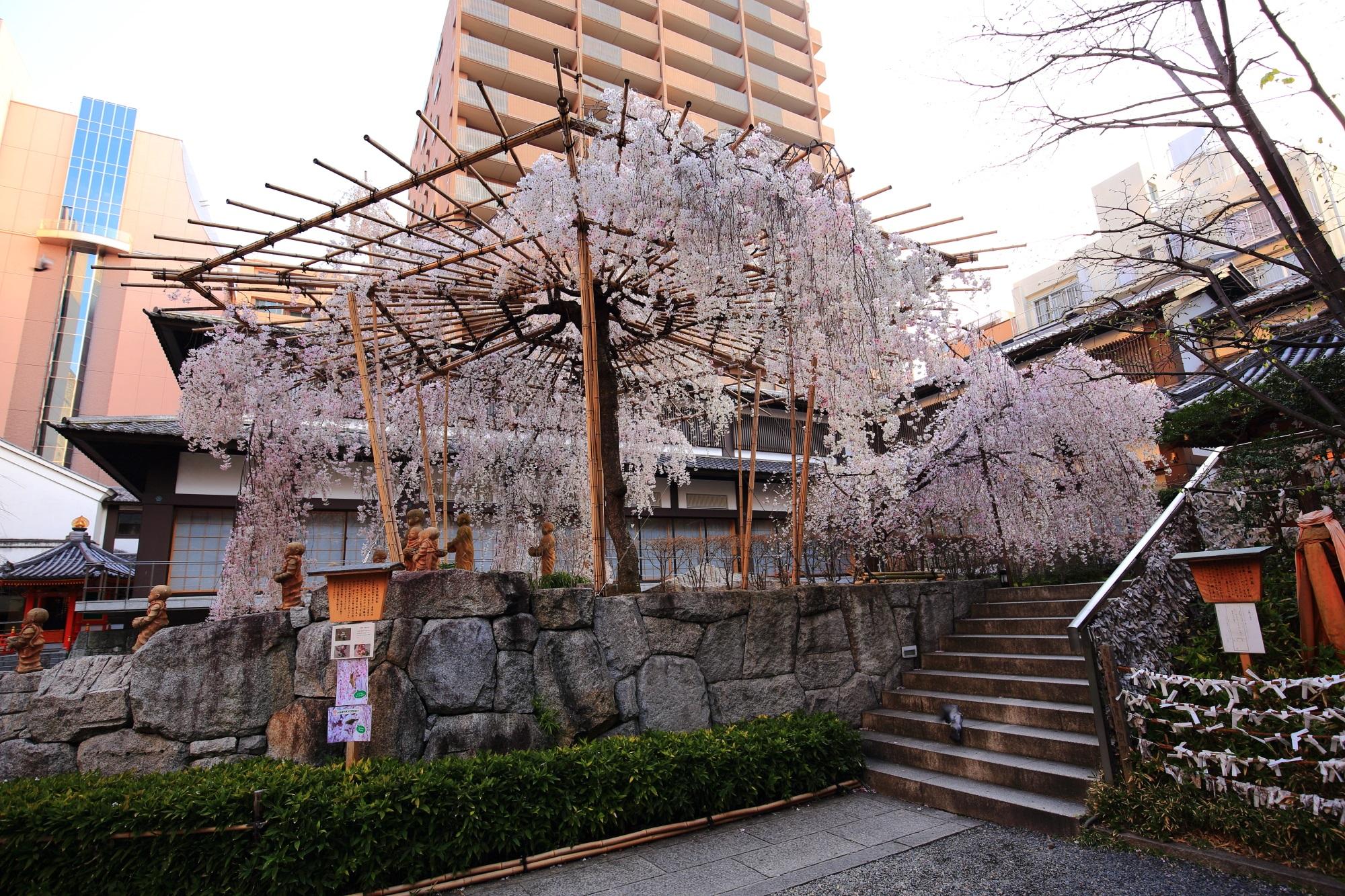 六角堂のしだれ桜