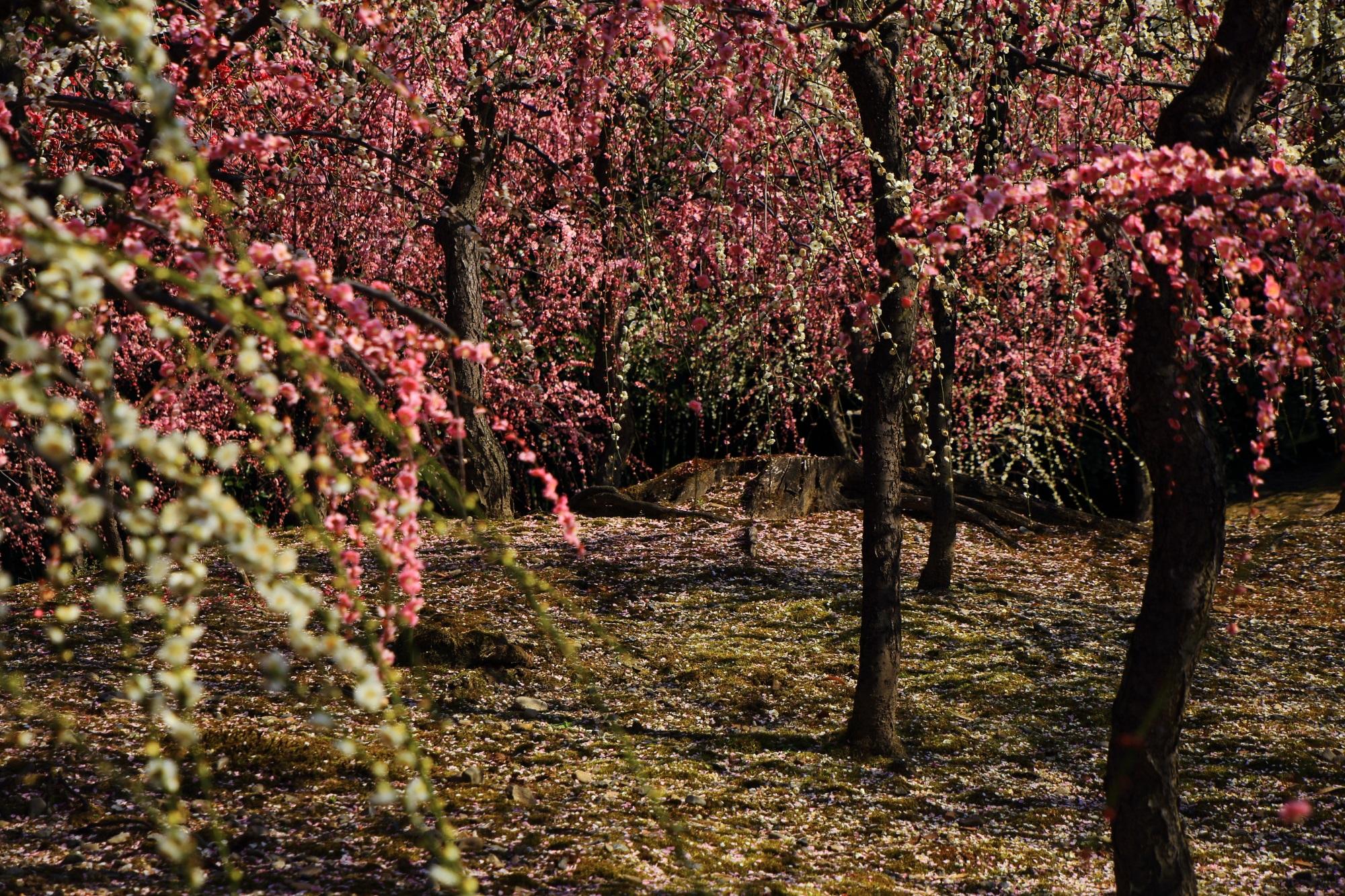 宝石のようなピンクと白の梅