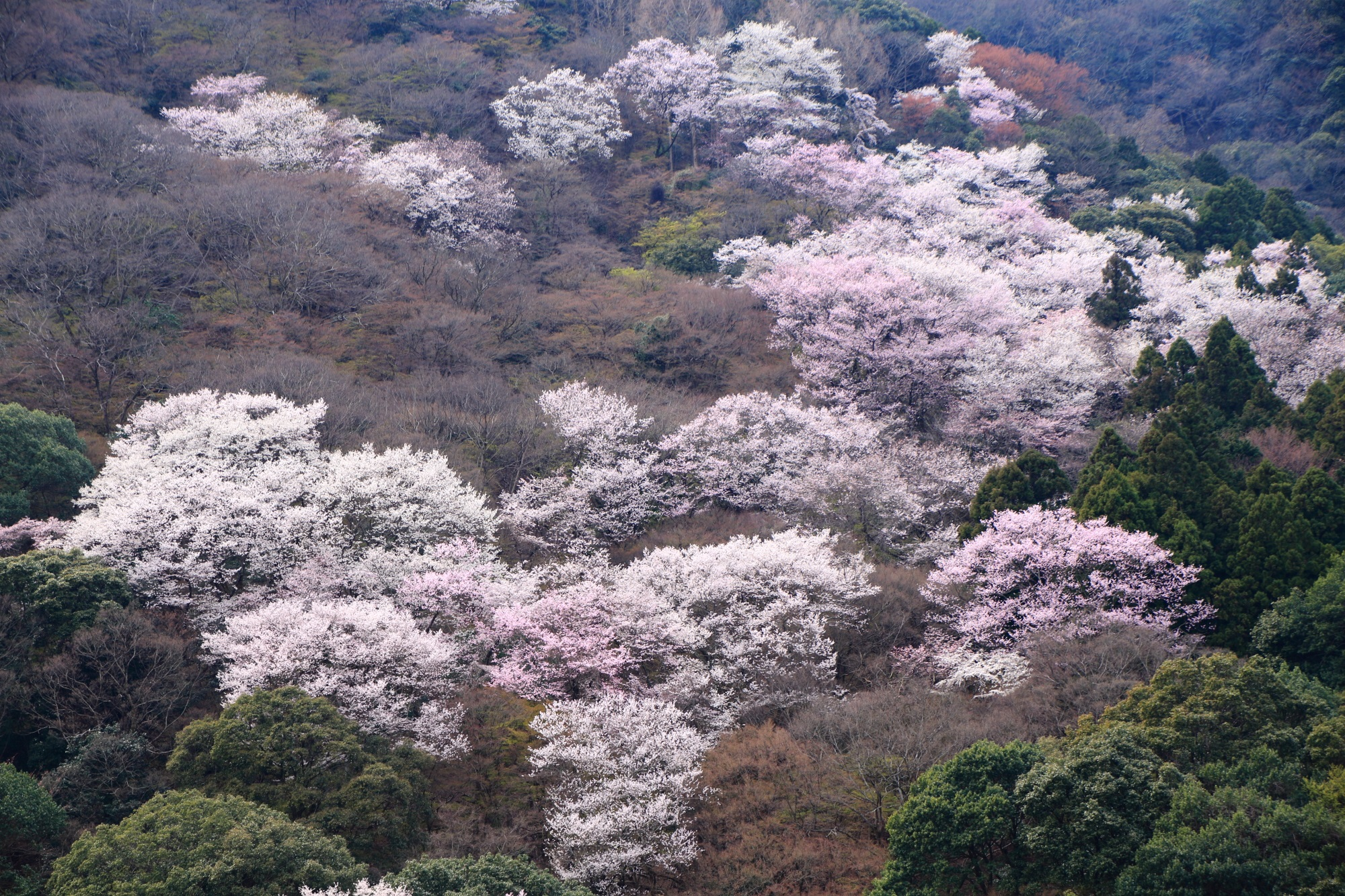 桜が満開でモコモコしている嵐山