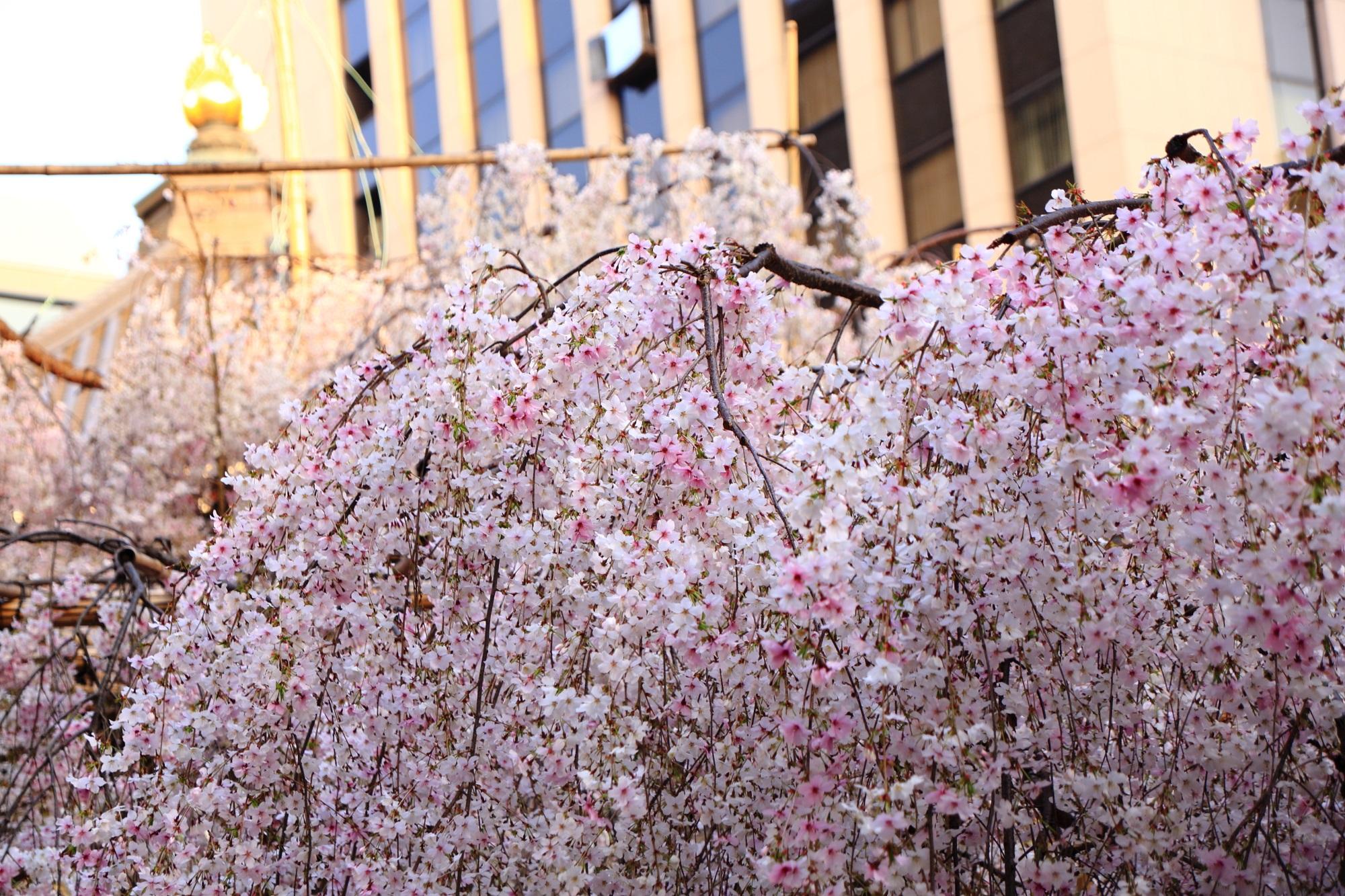 桜の名所の六角堂の桜と本堂