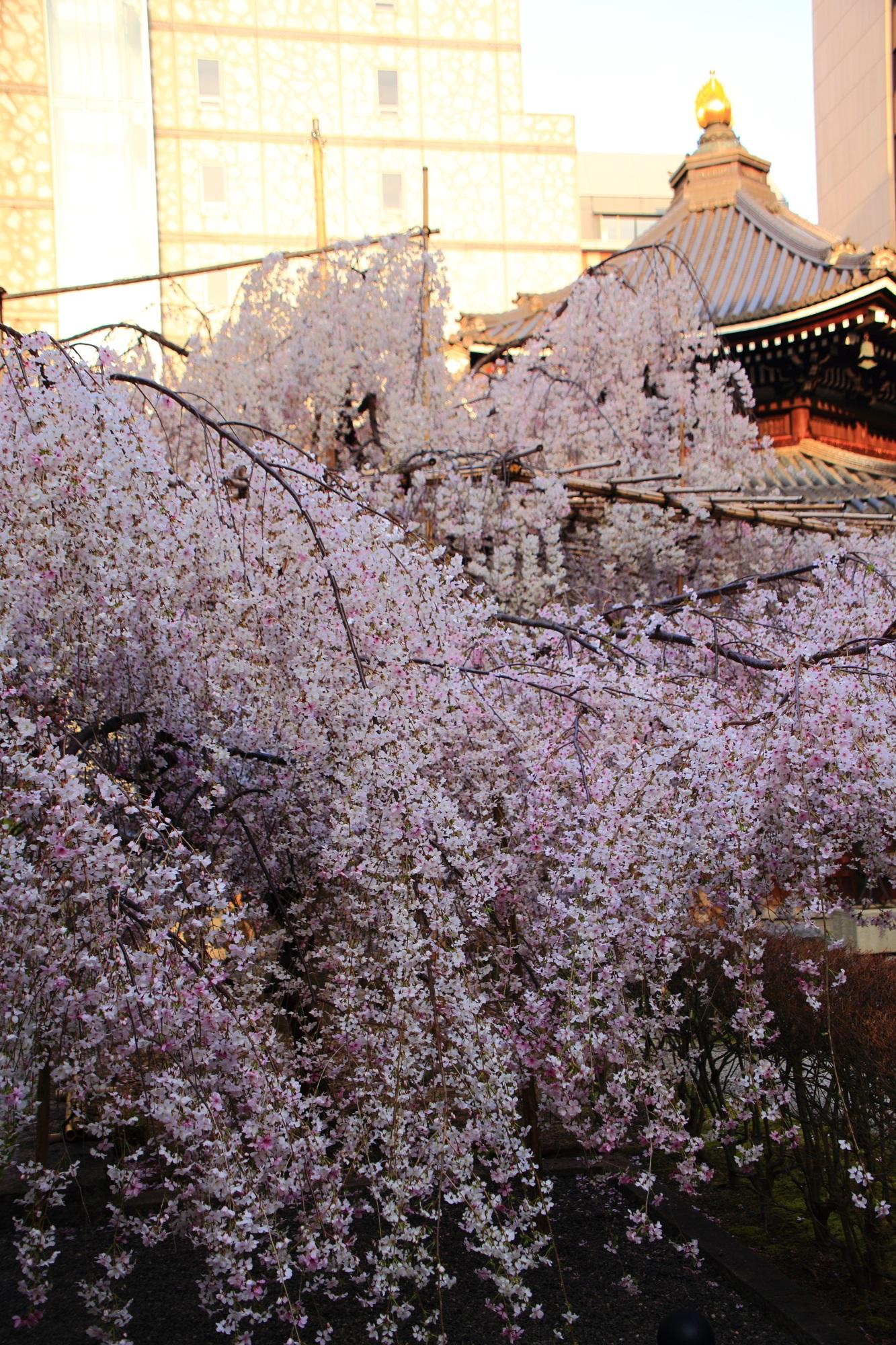 六角堂の本堂と満開のしだれ桜