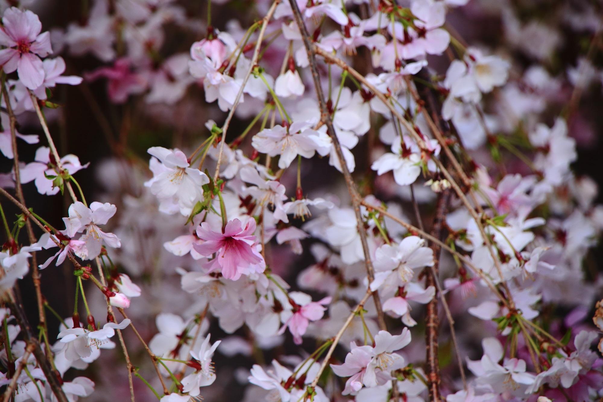 六角堂の白からピンクに変わる御幸桜(みゆき桜)