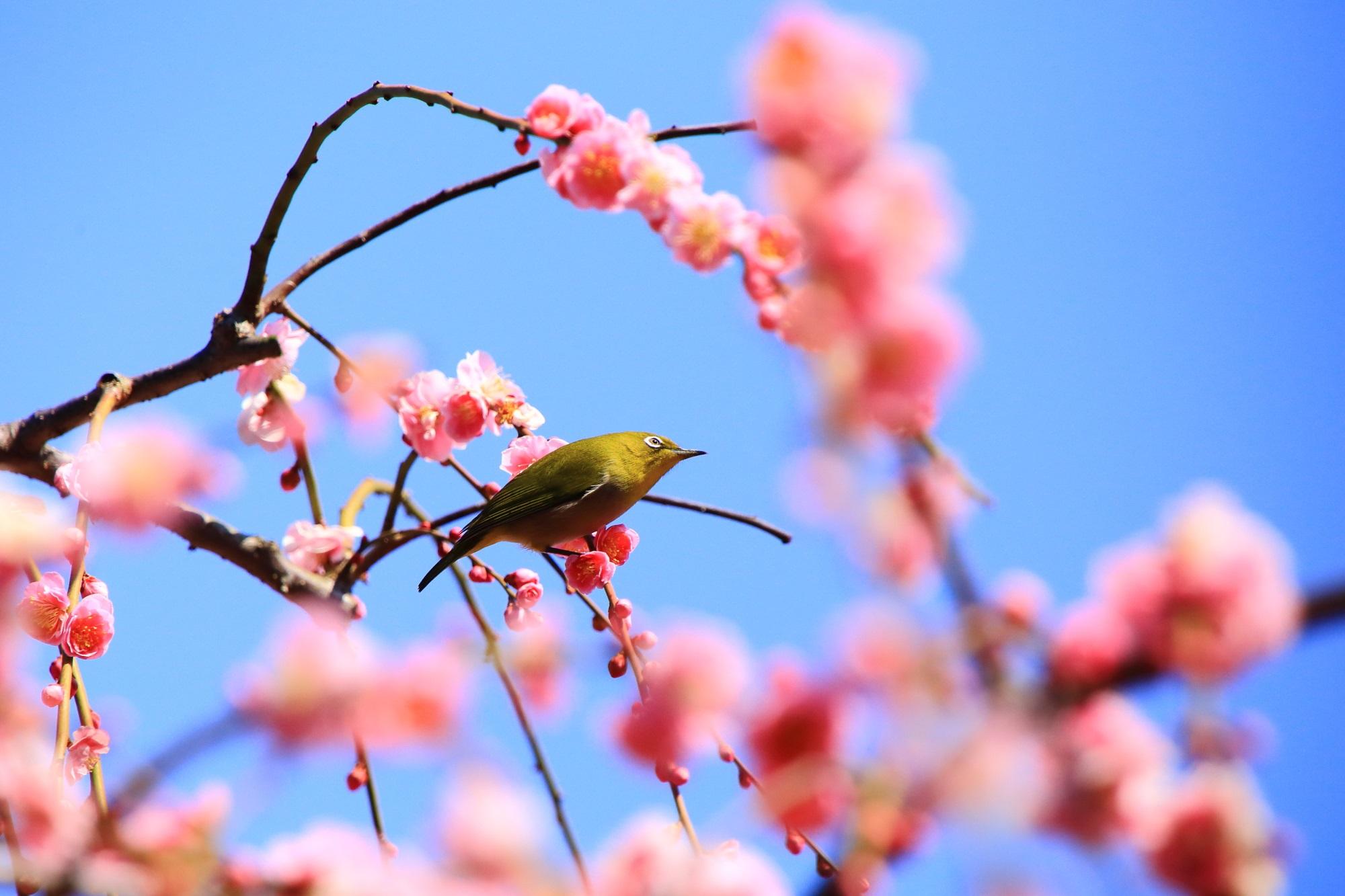 青い空とピンクの梅に良く合う緑のメジロ