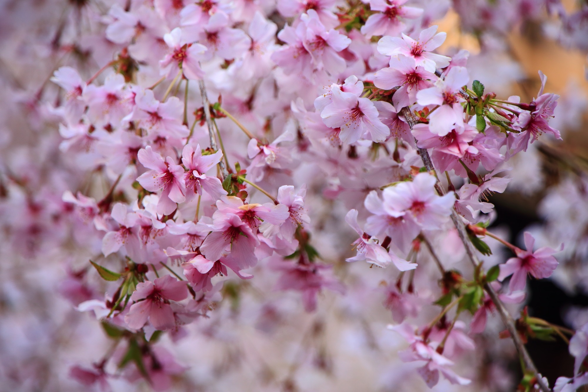 御幸桜 六角堂 白からピンク