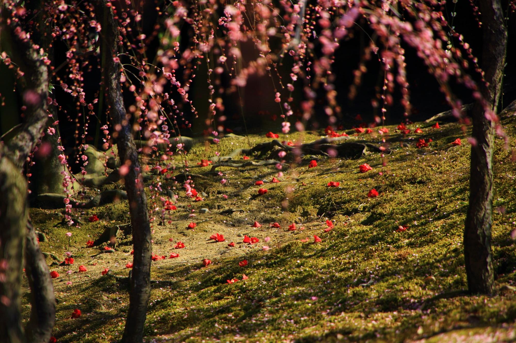 鮮烈な真っ赤な散り椿を引き立てるしだれ梅