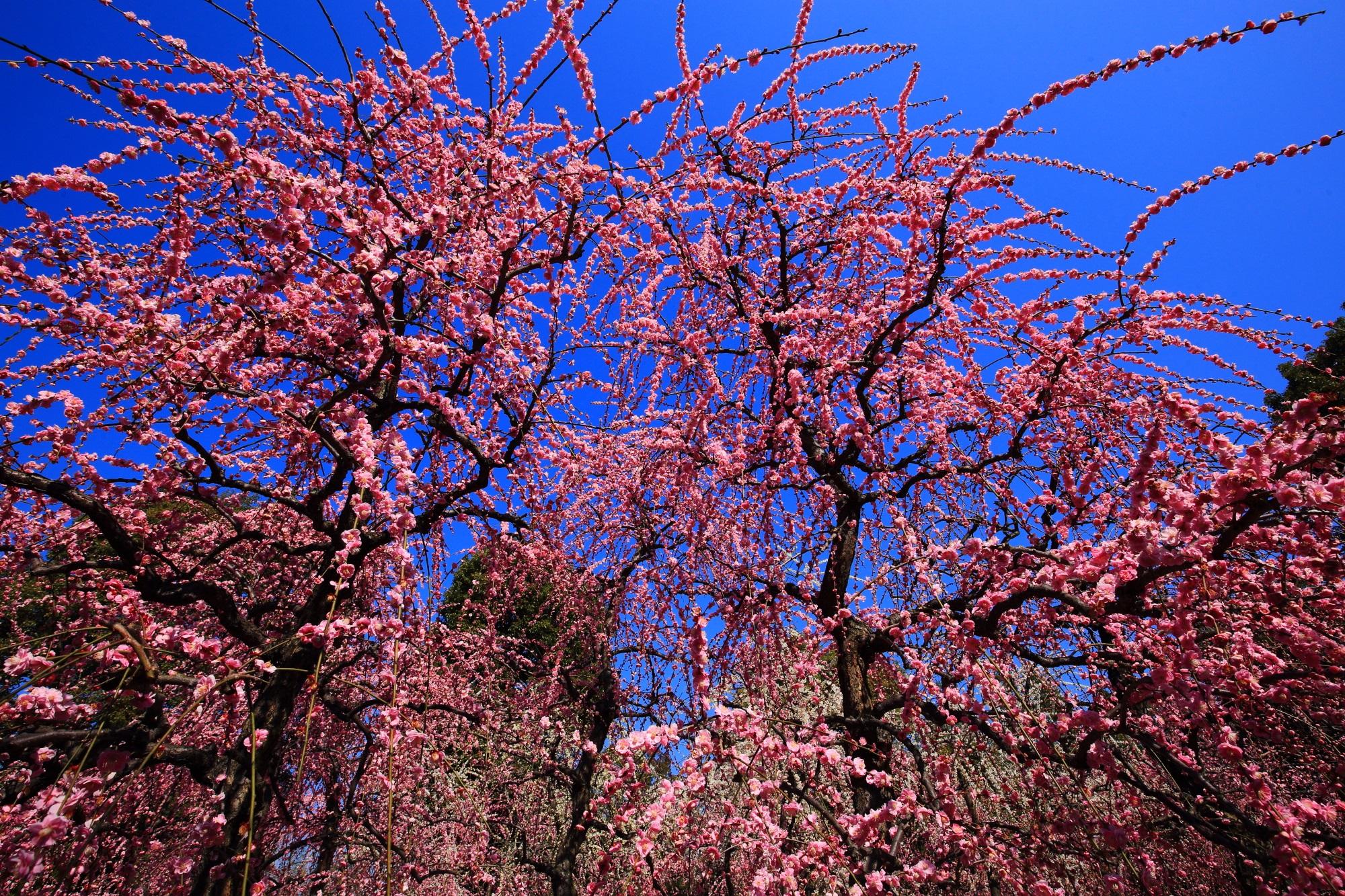 真っ青な空からふりそそぐ鮮やかなピンクのしだれ梅