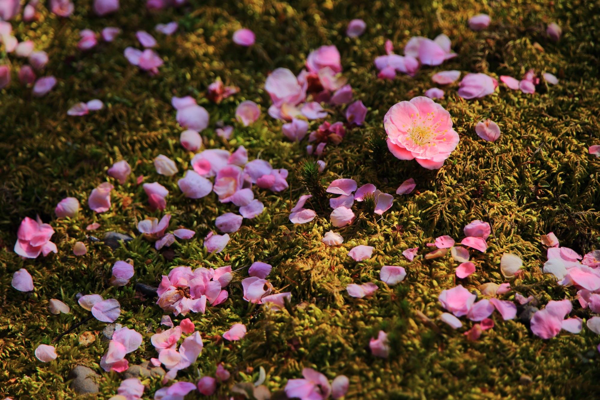 花のままポトンと落ちているしだれ梅と散った花びら