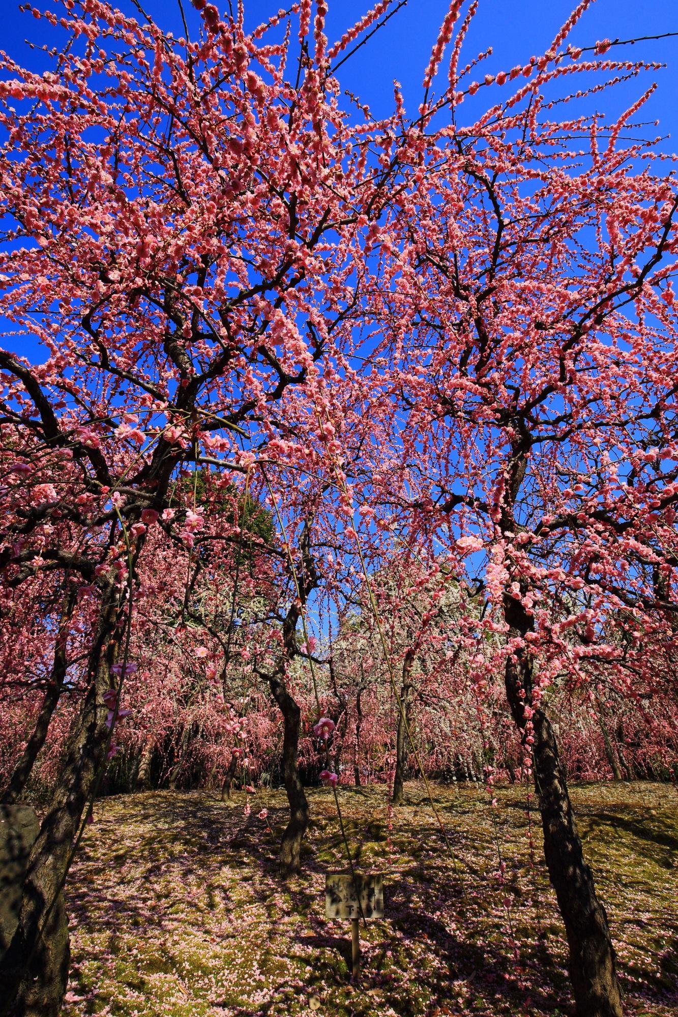 青空に映える圧巻のピンクのしだれ梅