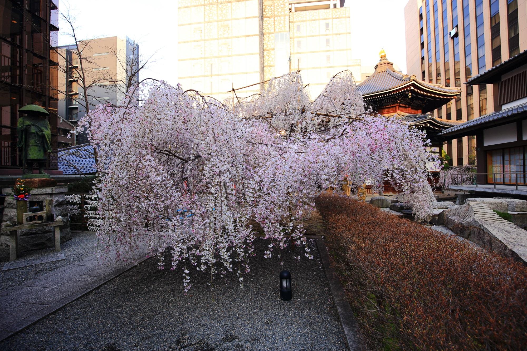 桜の名所の六角堂の御幸桜(みゆき桜)と本堂