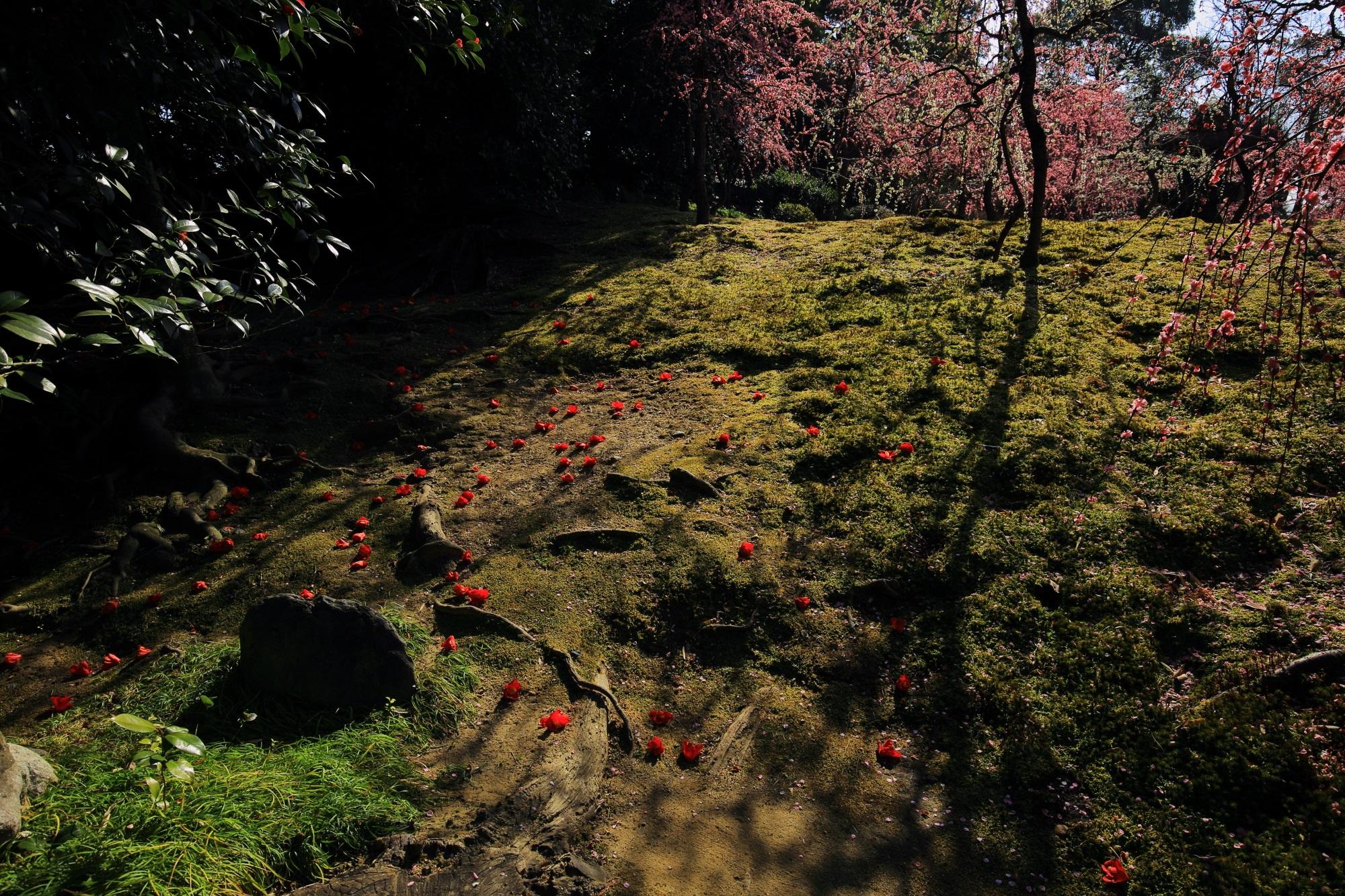 椿の名所の城南宮の散り椿としだれ梅
