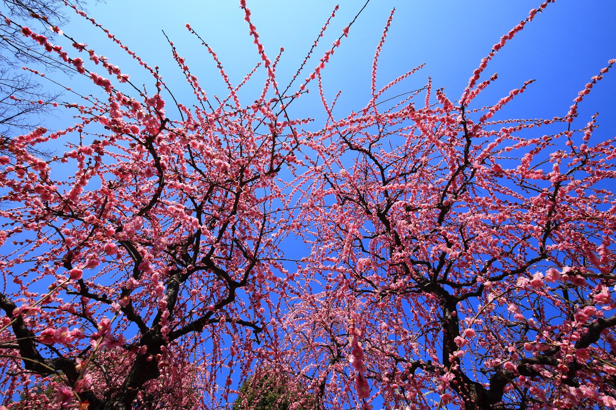 あっぱれなしだれ梅と青空の春の風景