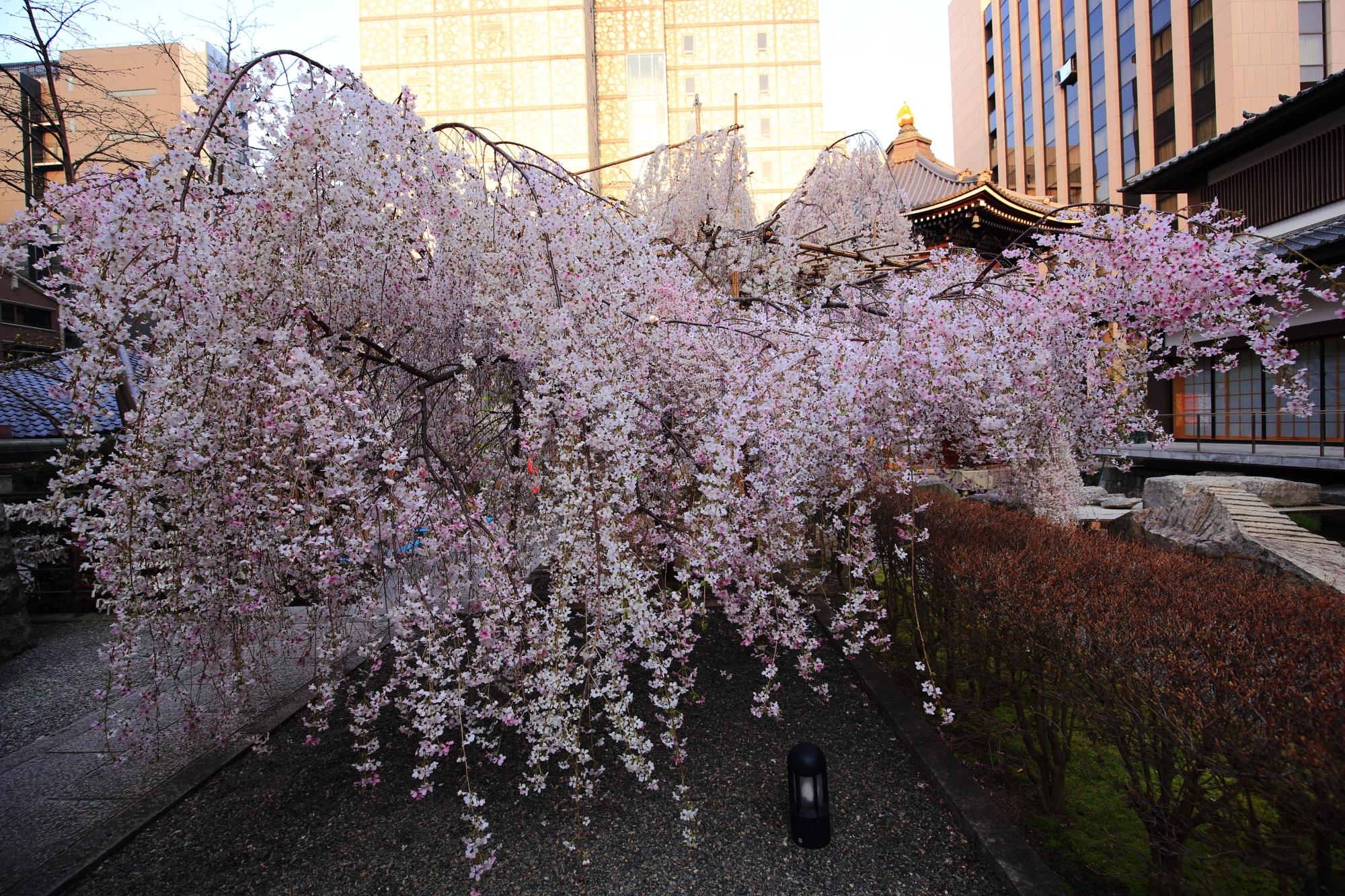 白からピンクに変わる京都六角堂の御幸桜