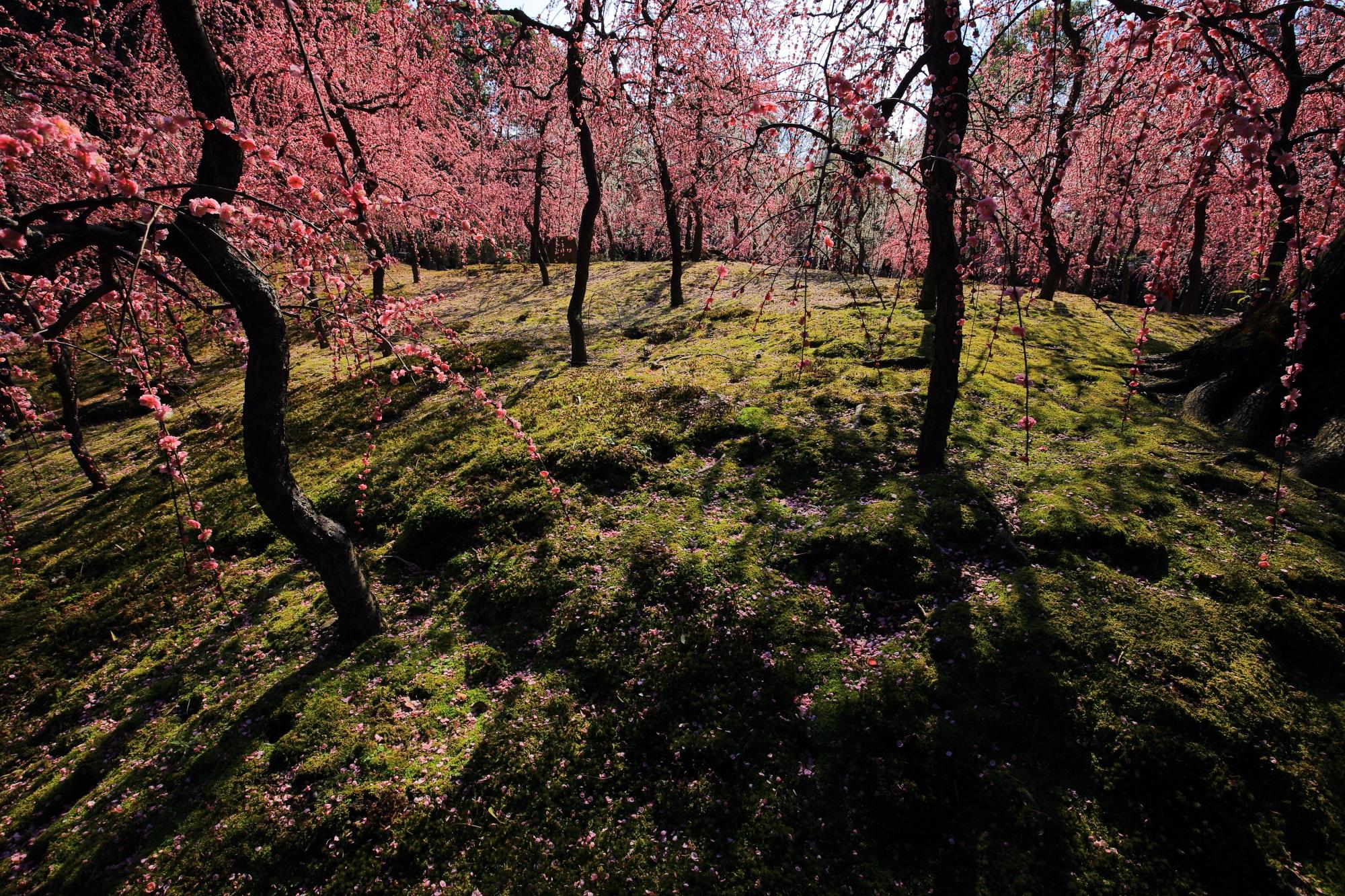 しだれ梅を演出する緑の苔や木漏れ日