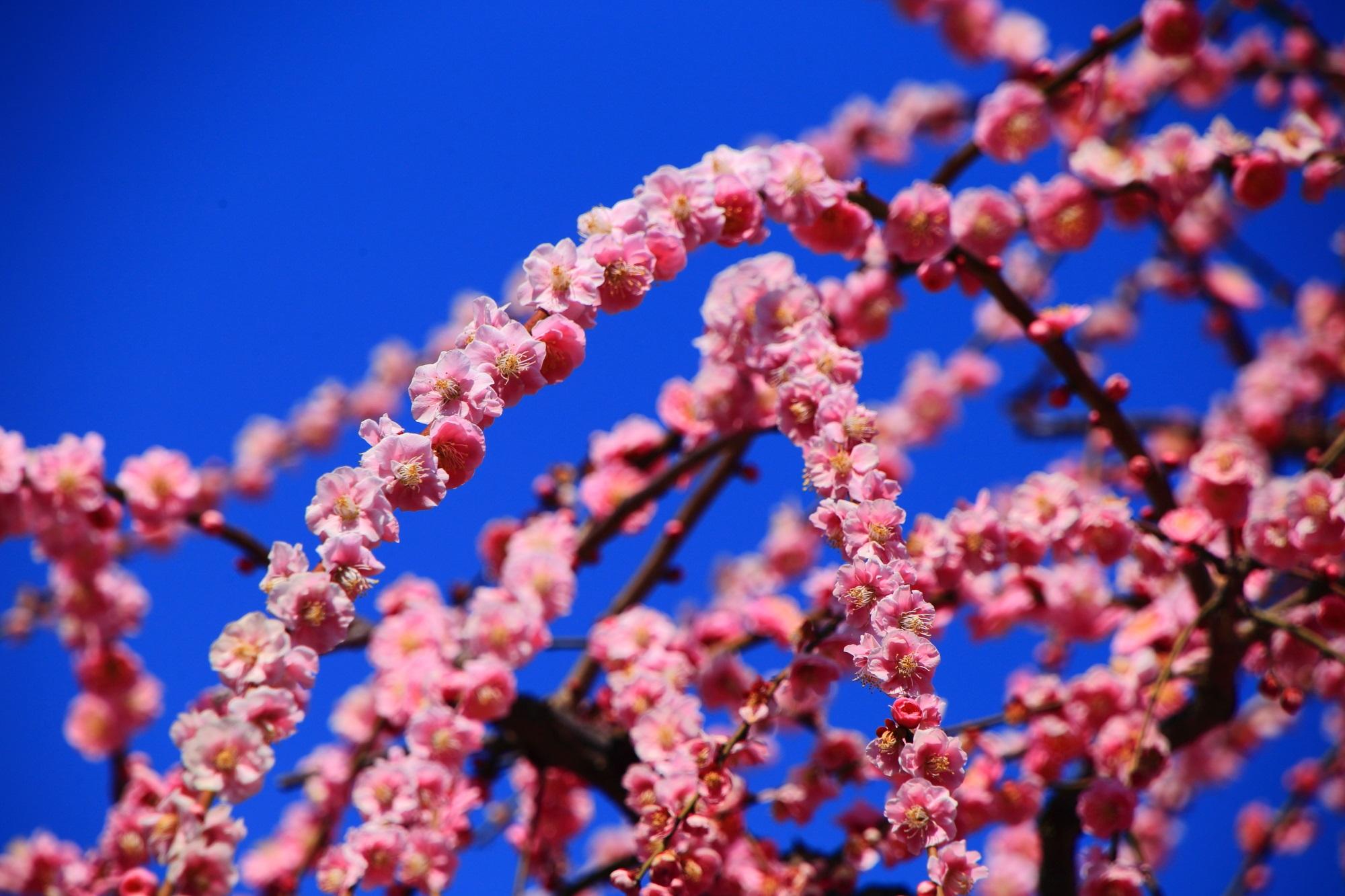枝に綺麗に整列して咲きそろう華やかな梅の花