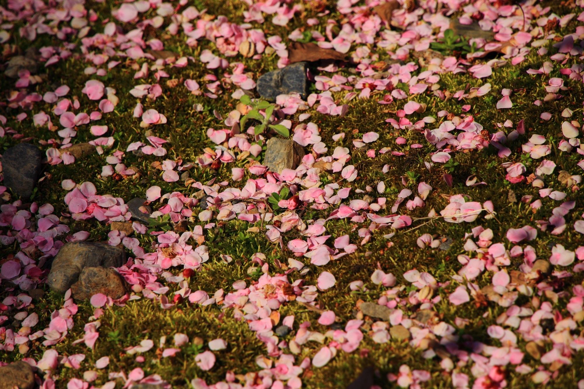 苔を華やかに彩る散った梅の花びら