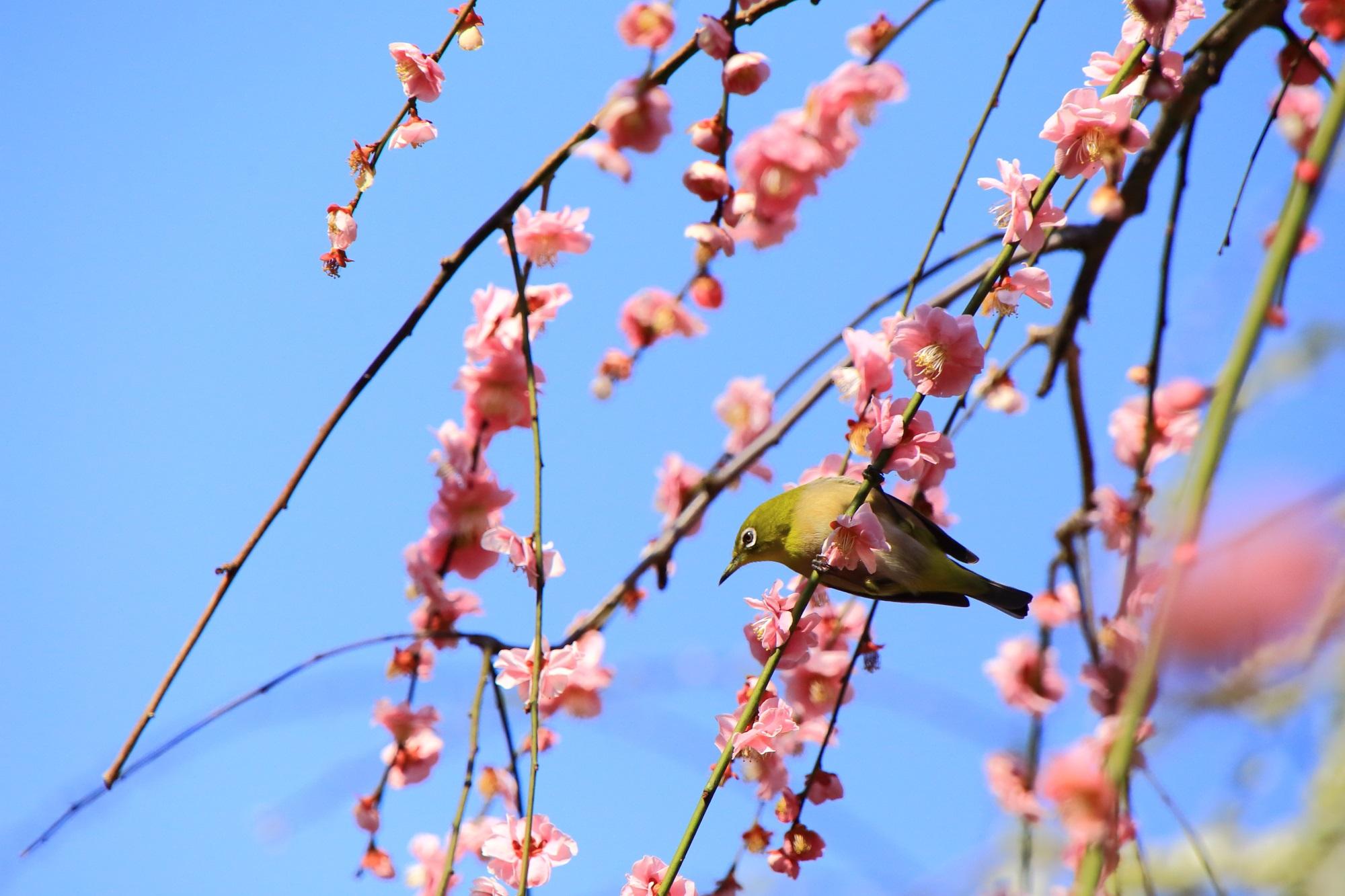 いかにも春といった感じのメジロと梅の情景