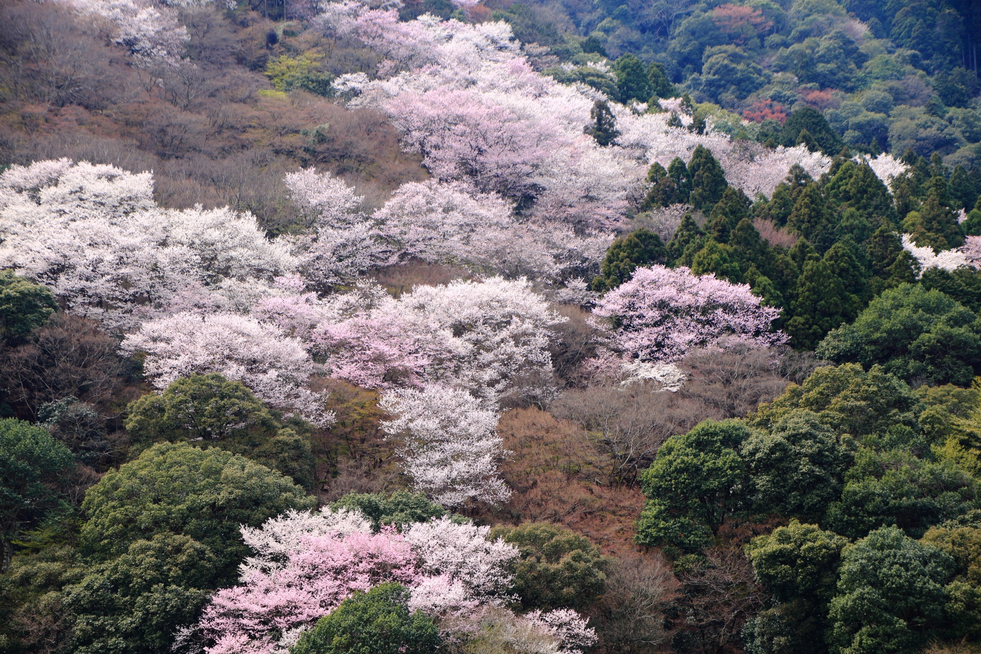 嵐山を染めるピンクと白の桜 春の嵐山公園 亀山地区
