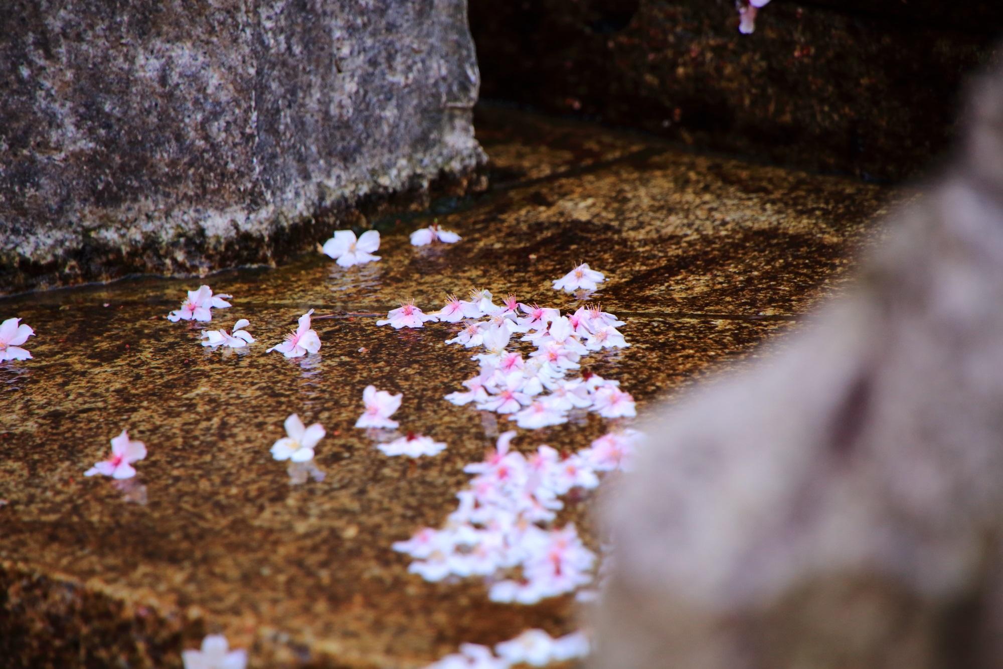 散り桜 六角堂 御幸桜