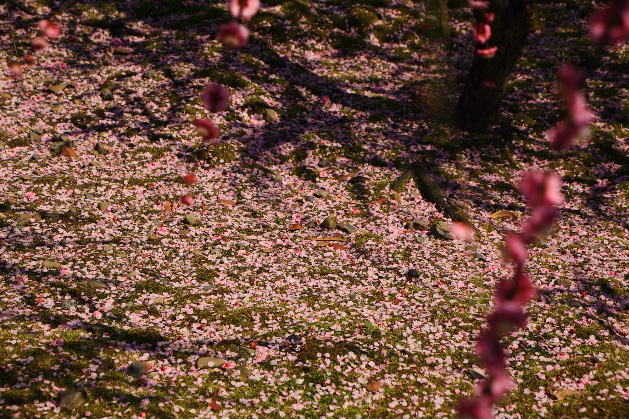 緑の苔をピンクにそめる散った梅の花