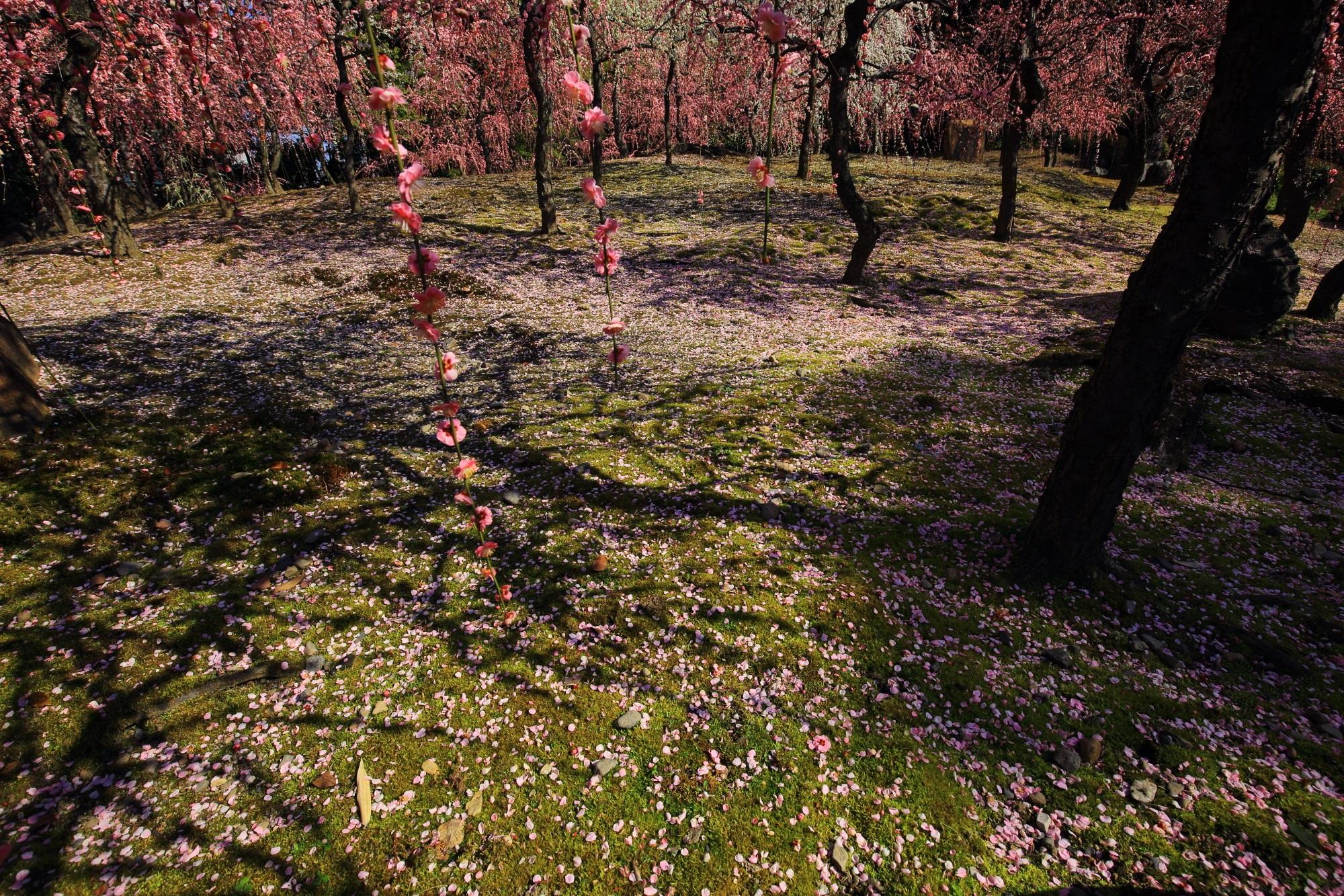 夢のようなピンクのしだれ梅の空間