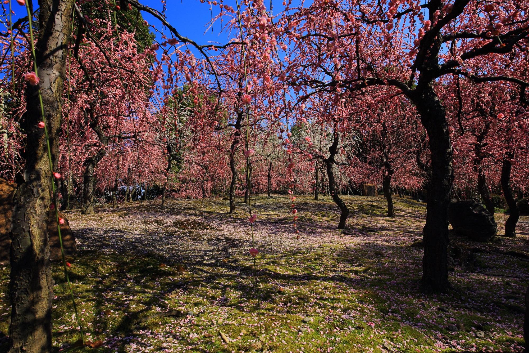 散った花びらも綺麗なしだれ梅