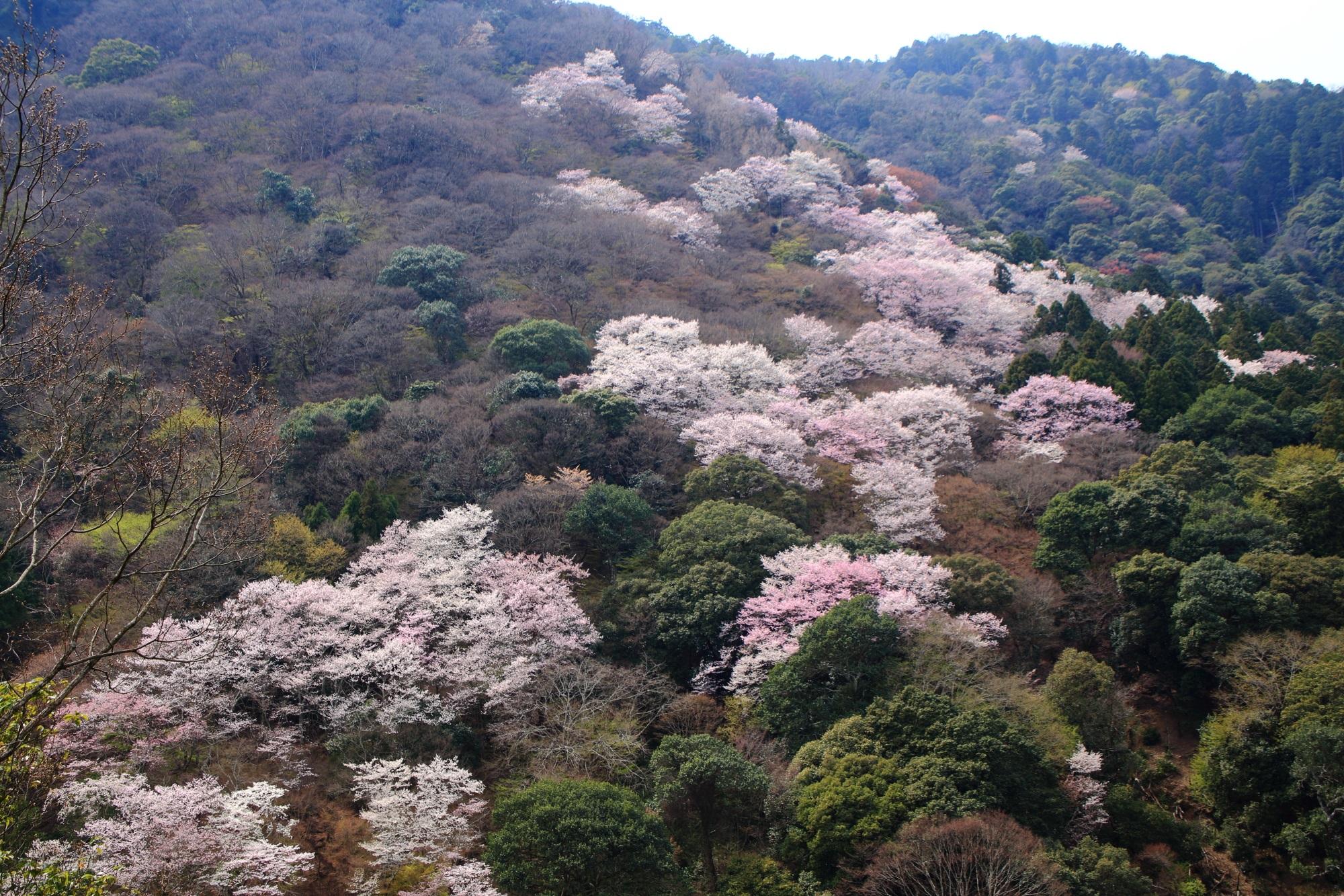 華やかな桜が咲き乱れる嵐山