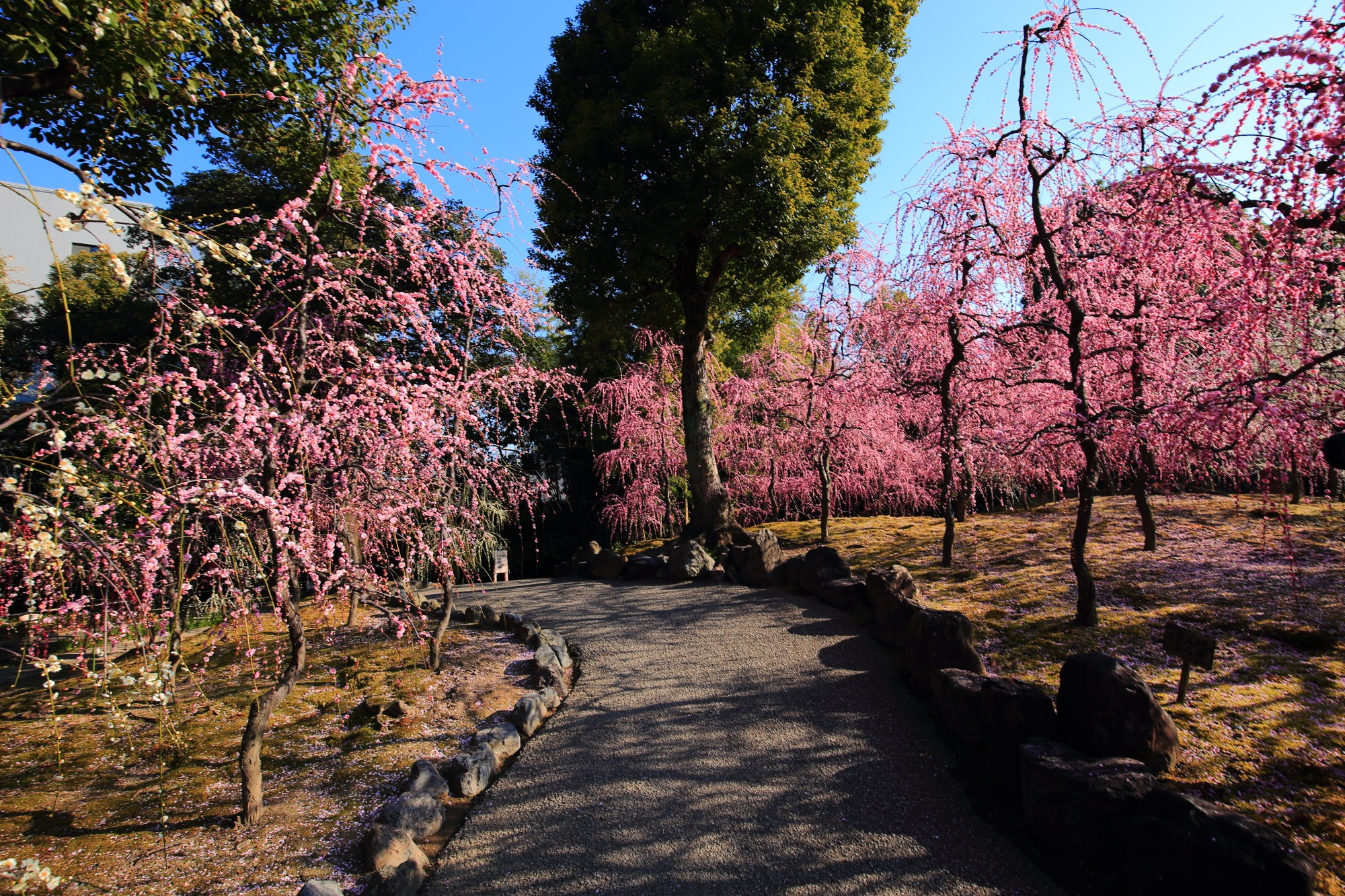 春先には豪快に咲き誇るしだれ梅につつまれる城南宮神苑