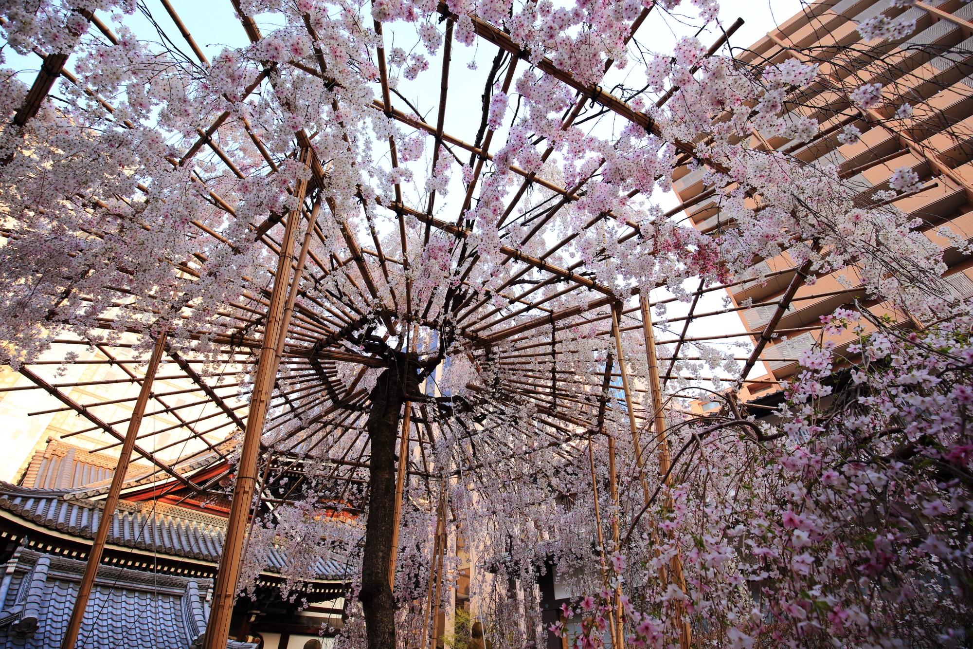 六角堂(頂法寺)の御幸桜