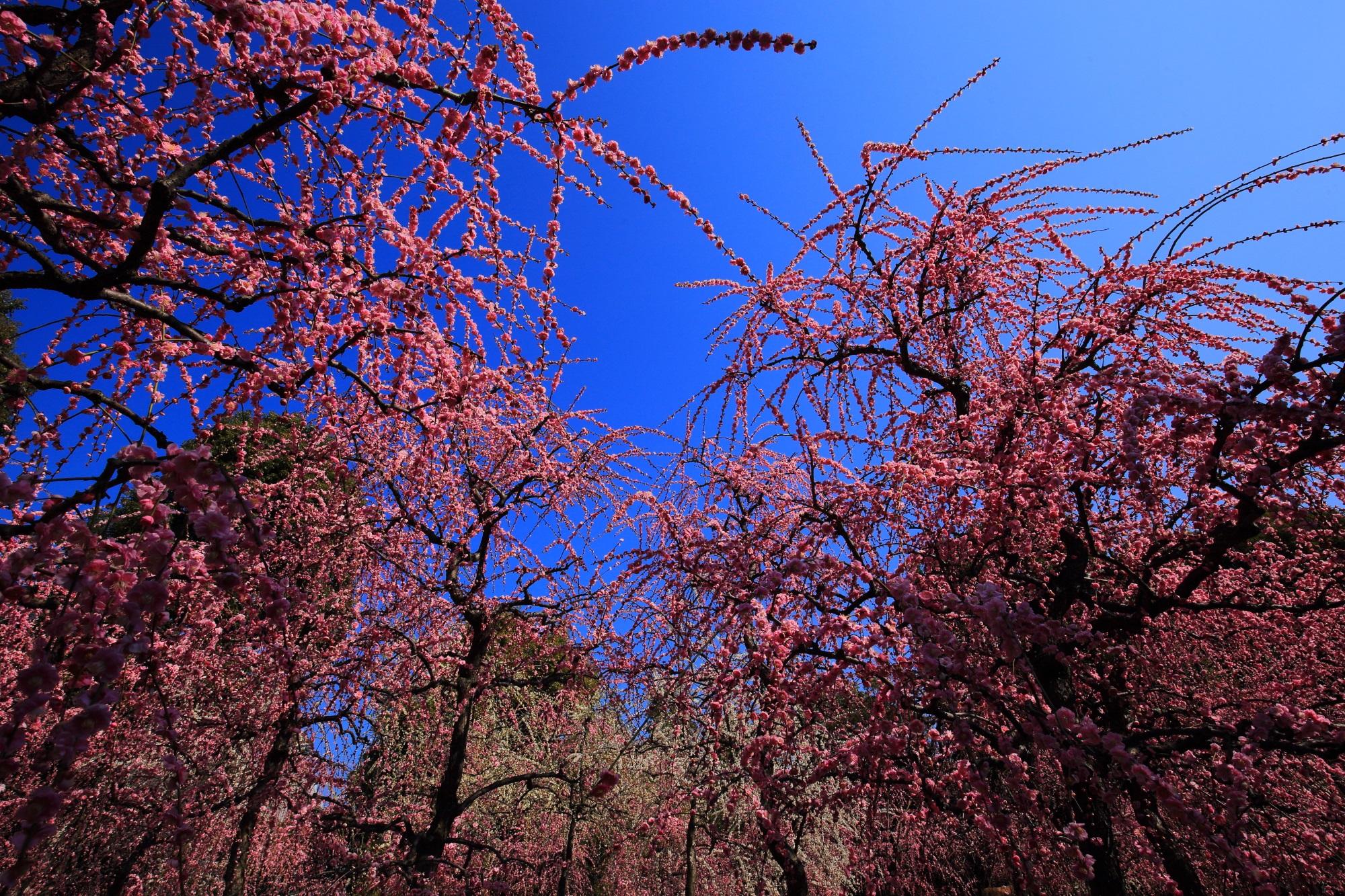 太陽に照らされピンクに輝く煌びやかなしだれ梅
