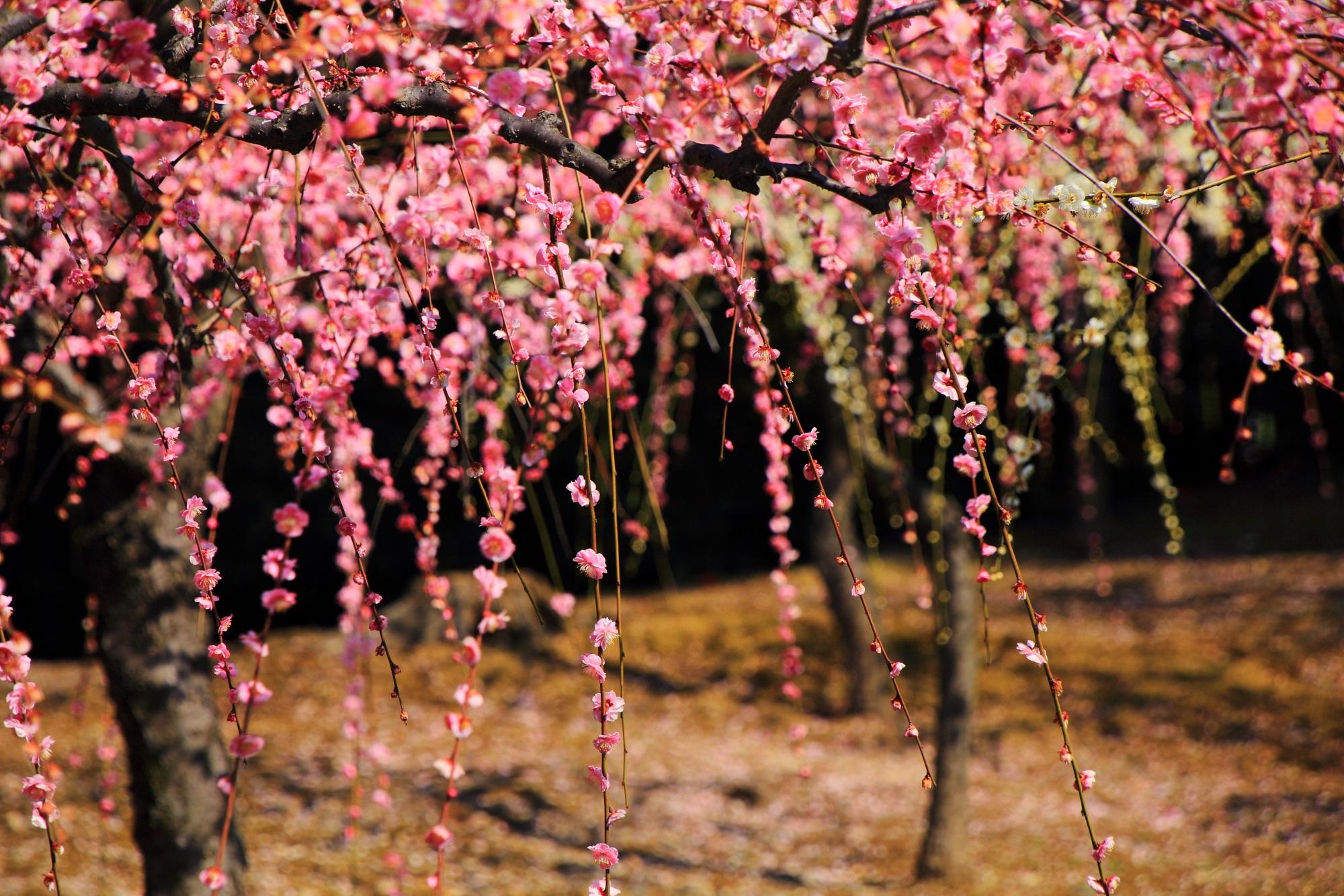 花一輪一輪は非常に繊細な造りのしだれ梅