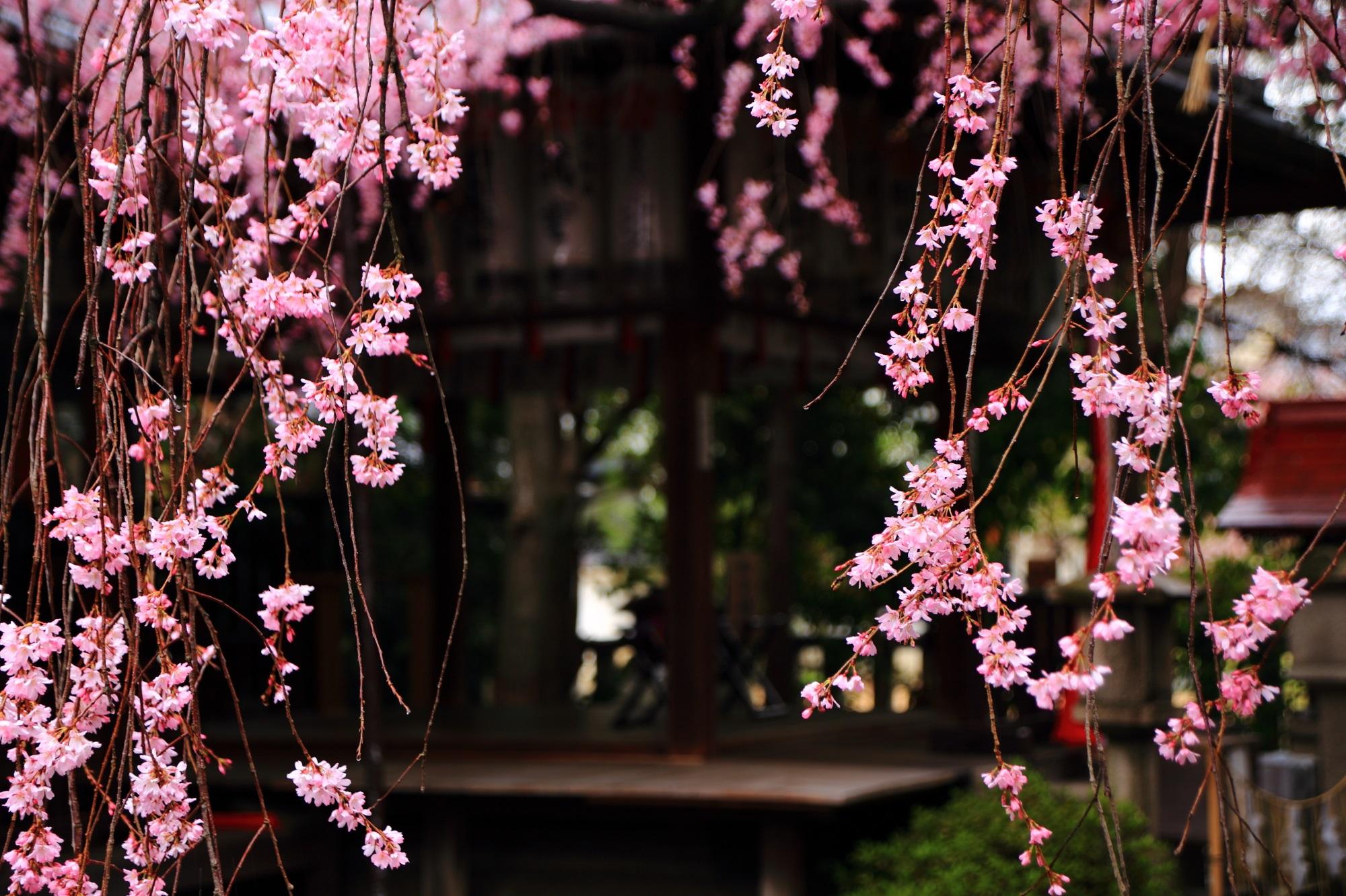 雨にそよぐ春色の花