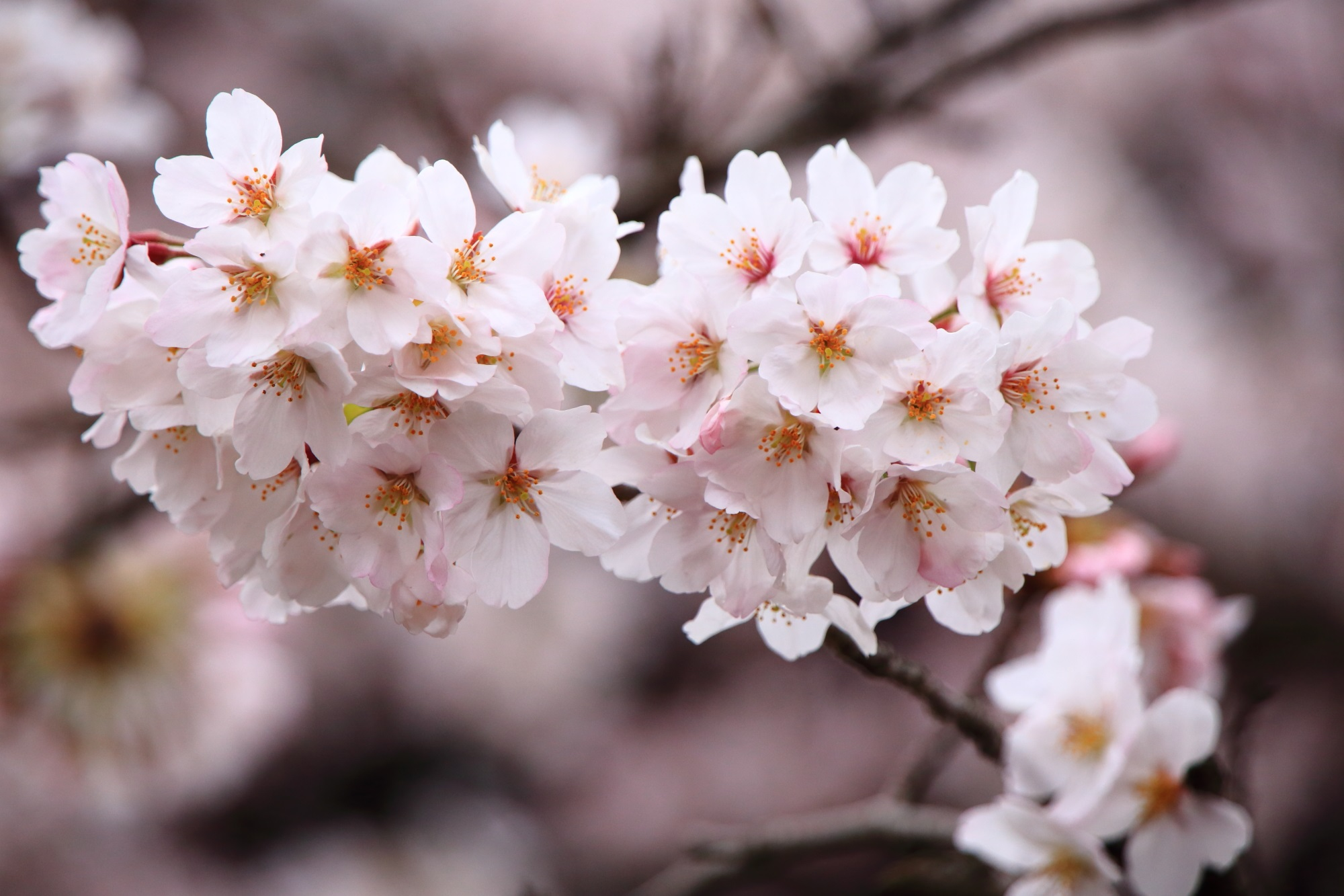 元気いっぱいに咲き誇る立本寺の満開の桜