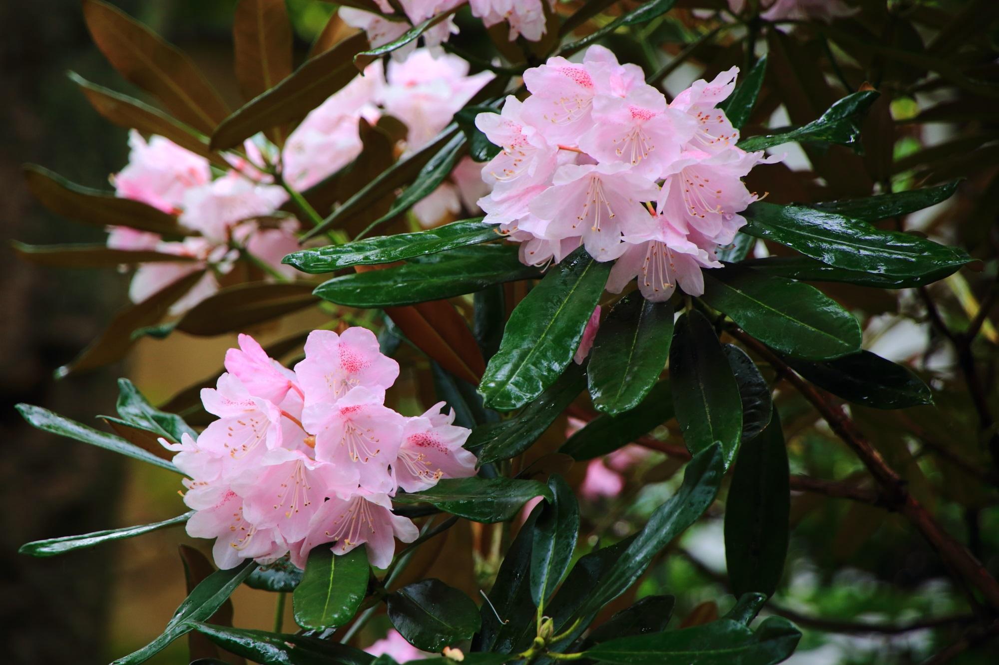 妙心寺大心院の切石の庭に咲く華やかなピンクの石楠花
