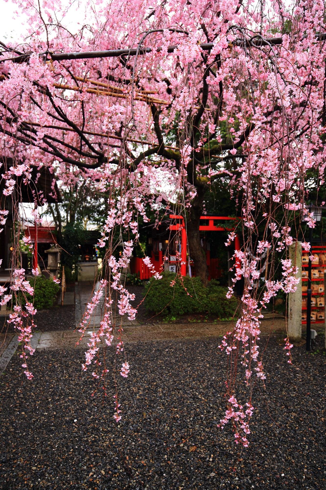 水火天満宮の素晴らしい雨のしだれ桜と春の情景