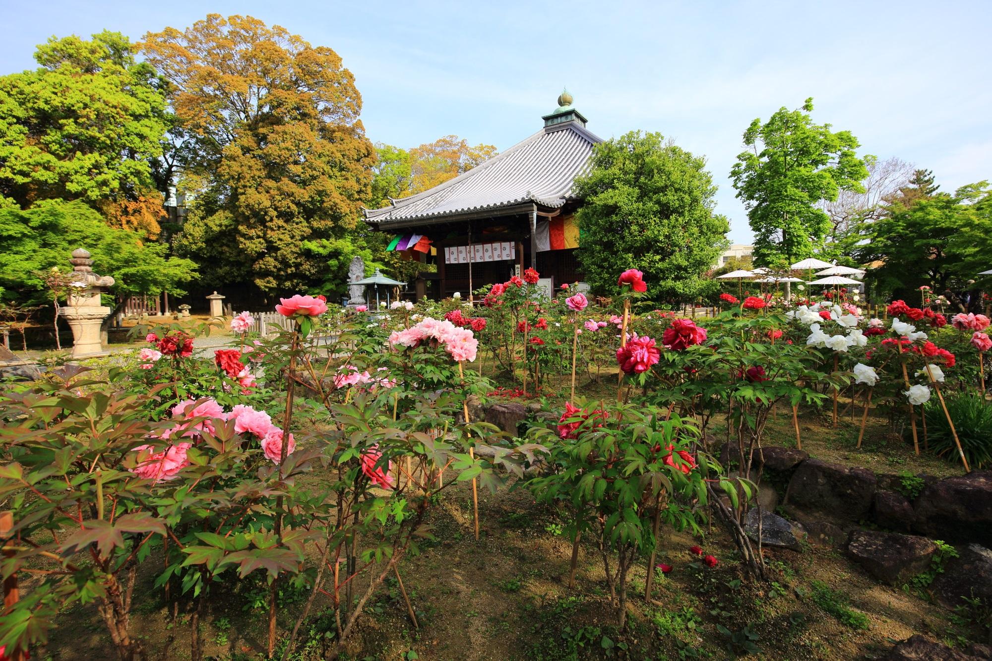 色とりどりの牡丹の花につつまれた春の乙訓寺(おとくにでら)