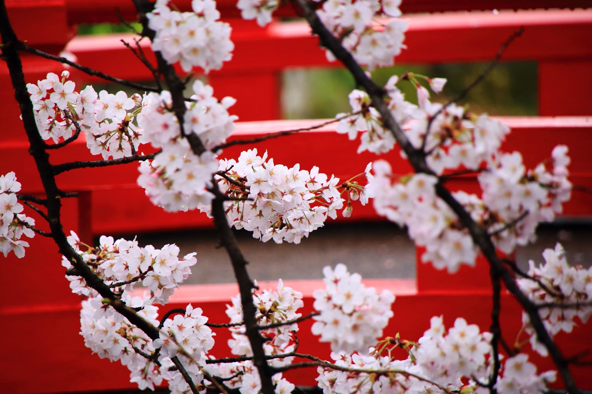赤い欄干を背景にして上品に咲く桜