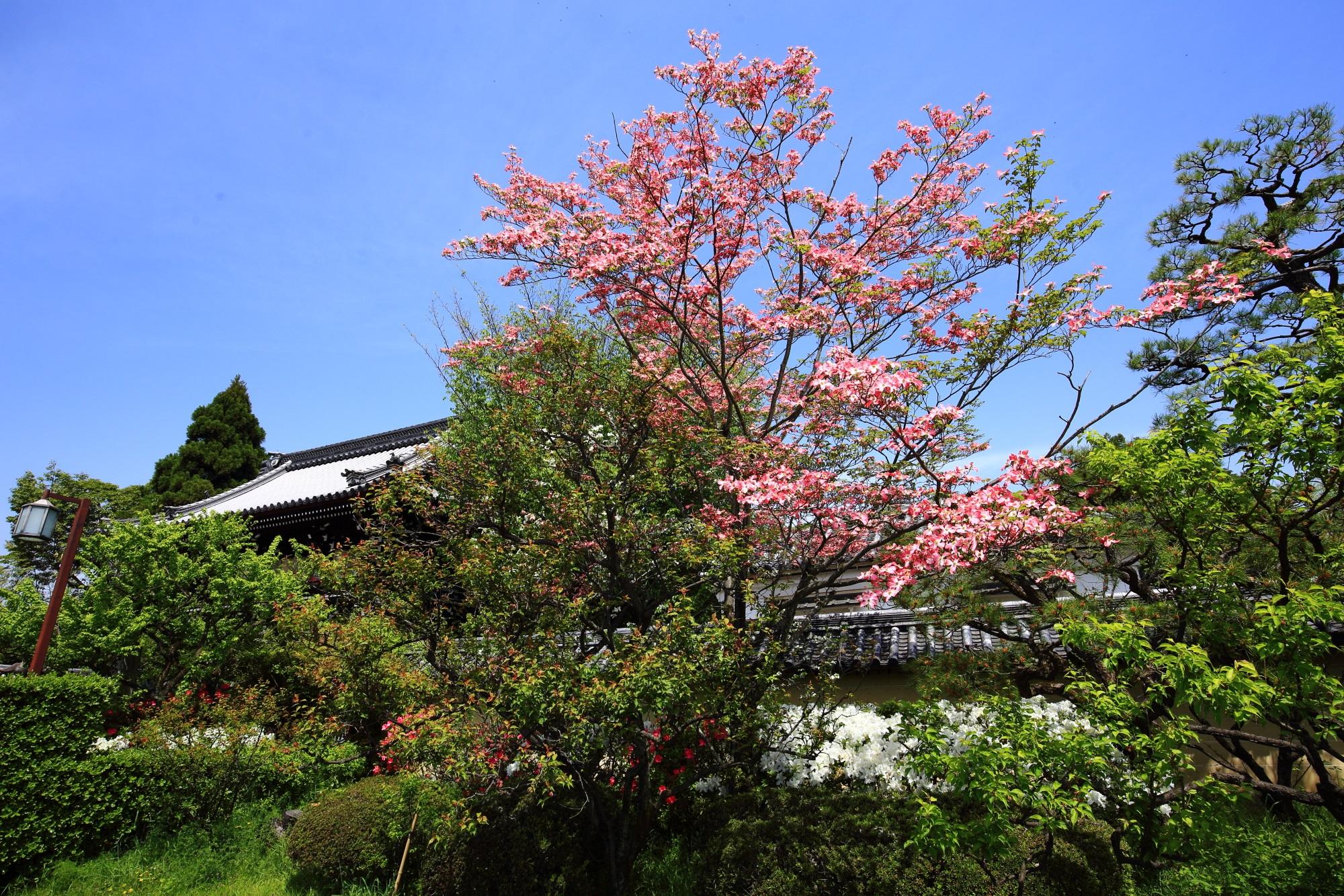 梅宮大社の楼門の横に咲くピンクのハナミズキ