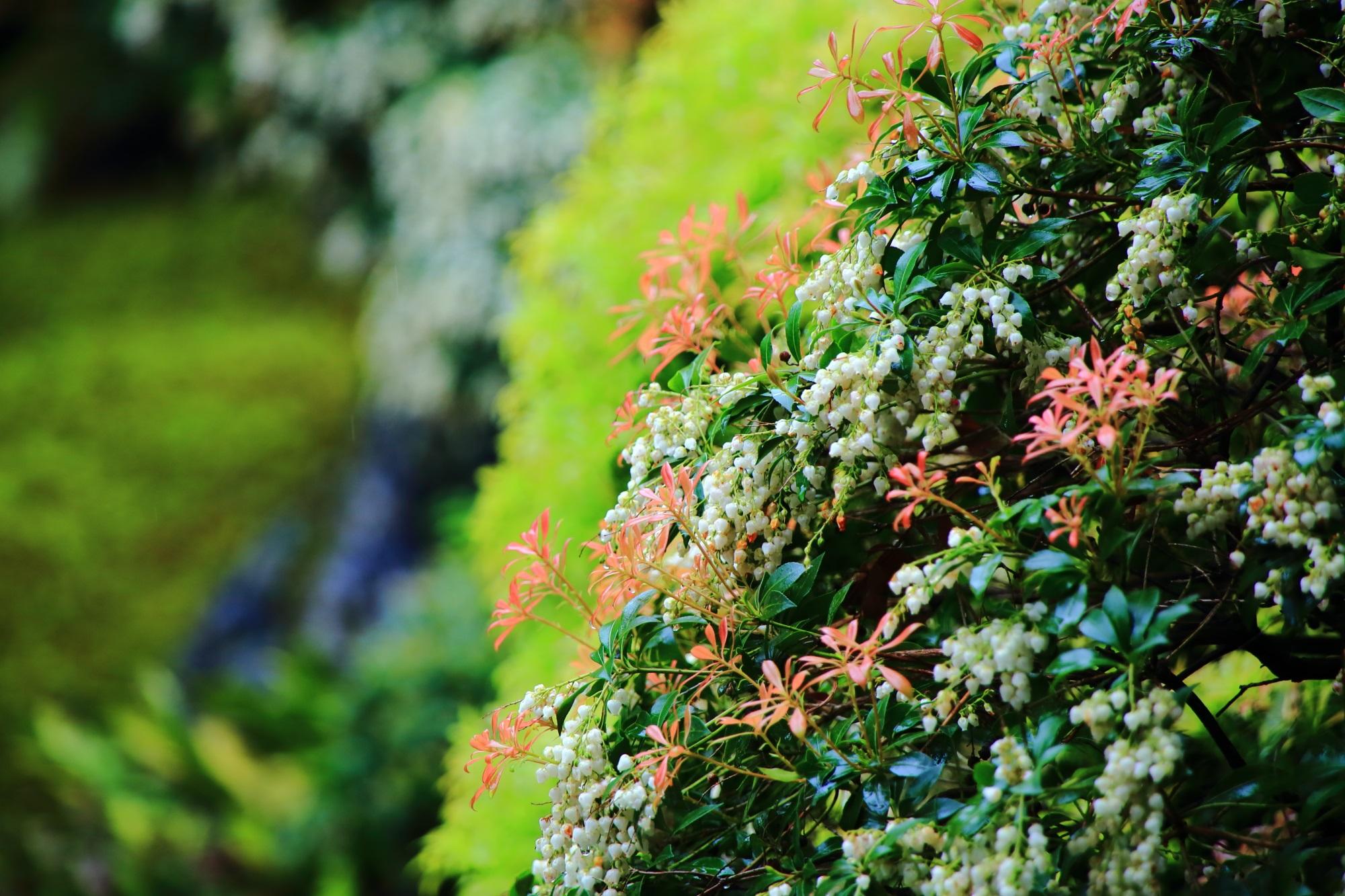 大心院の繊細で可憐な花と葉の彩りとアセビ