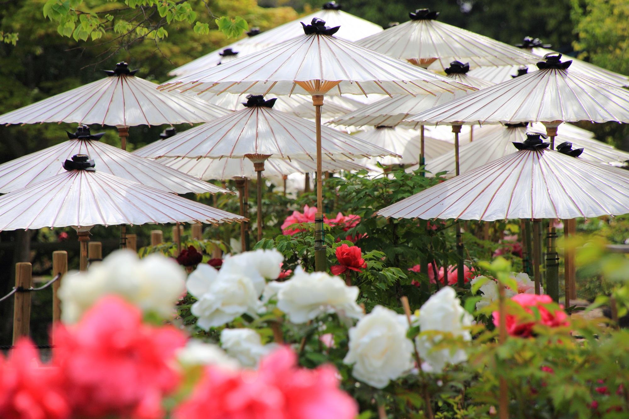 高画質 写真 牡丹 和傘